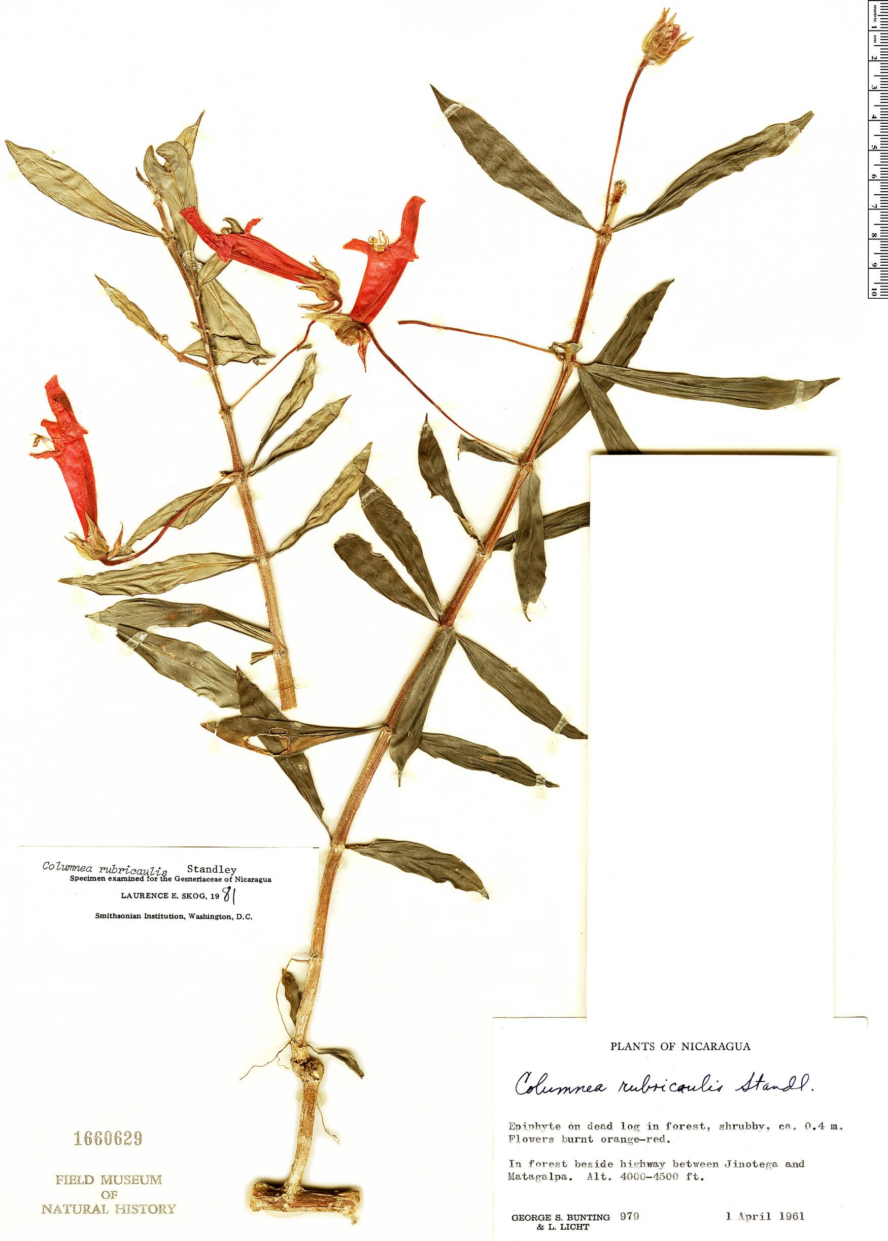 Specimen: Columnea rubricaulis
