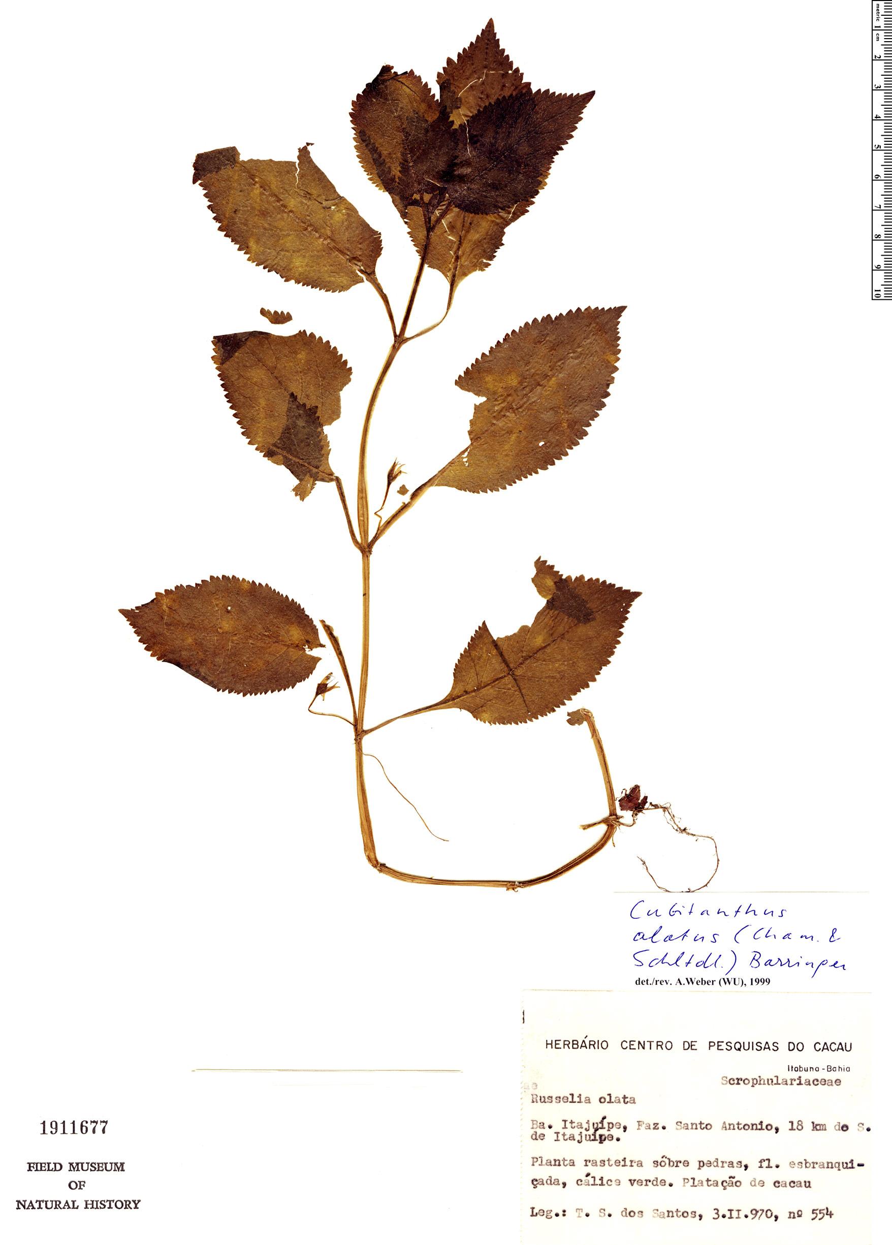 Specimen: Cubitanthus alatus