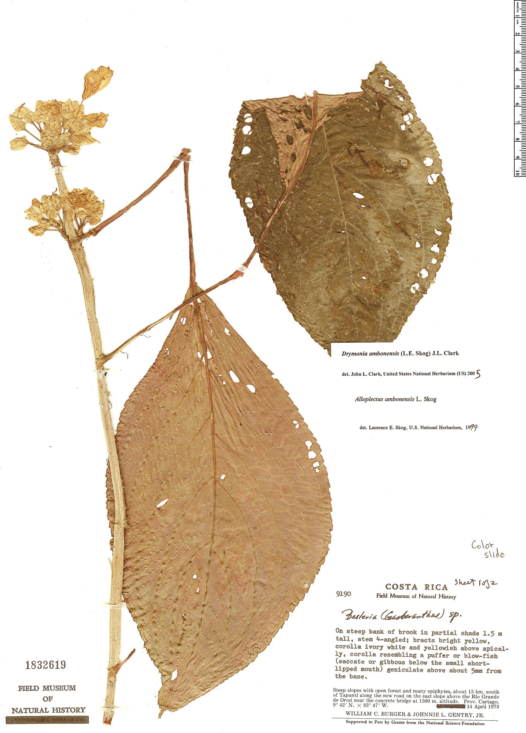 Specimen: Drymonia ambonensis