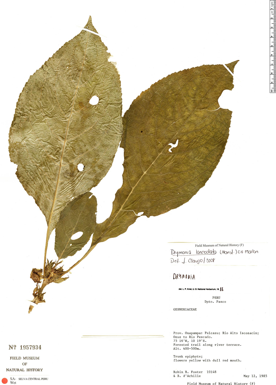 Specimen: Drymonia lanceolata