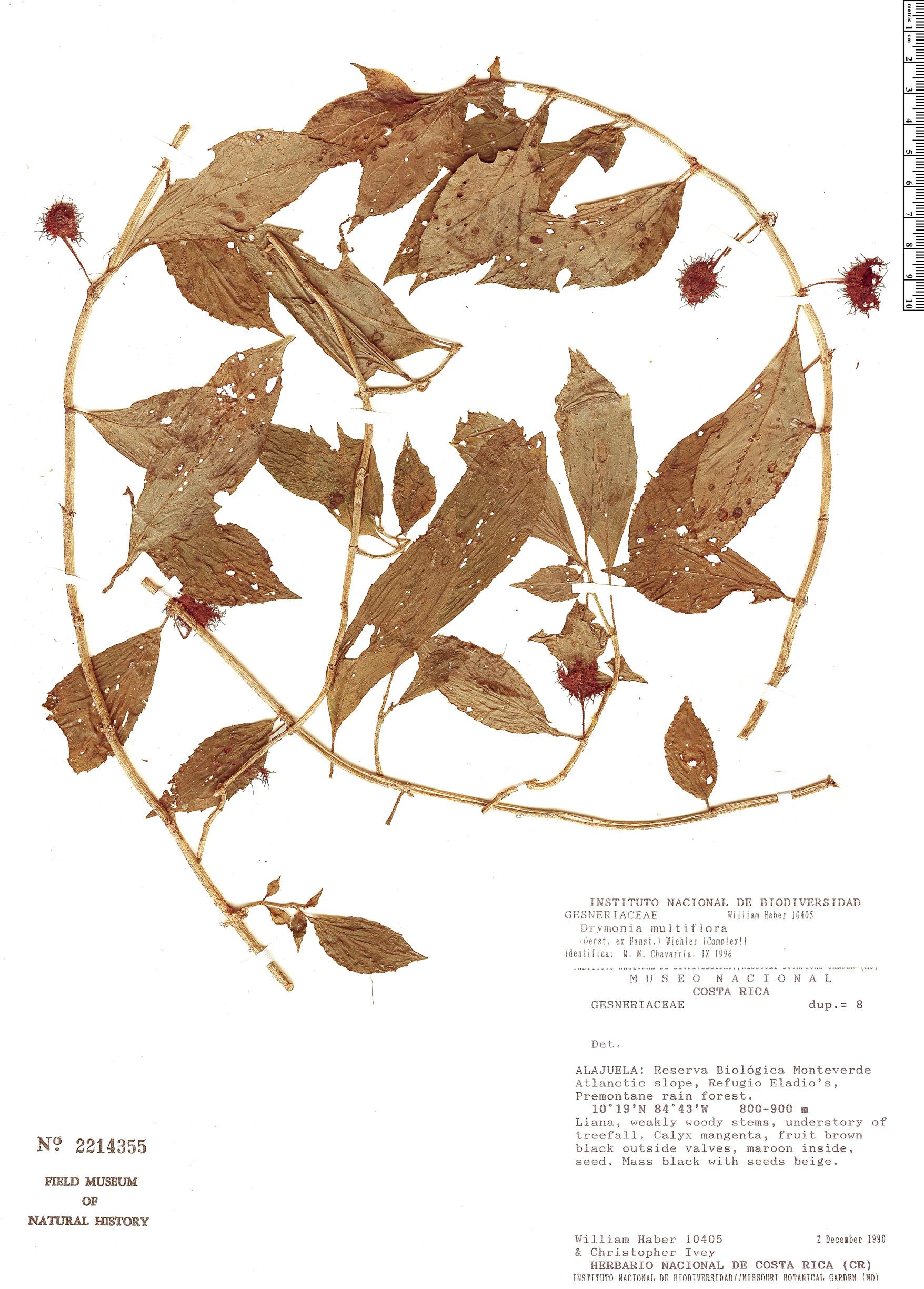Specimen: Drymonia multiflora