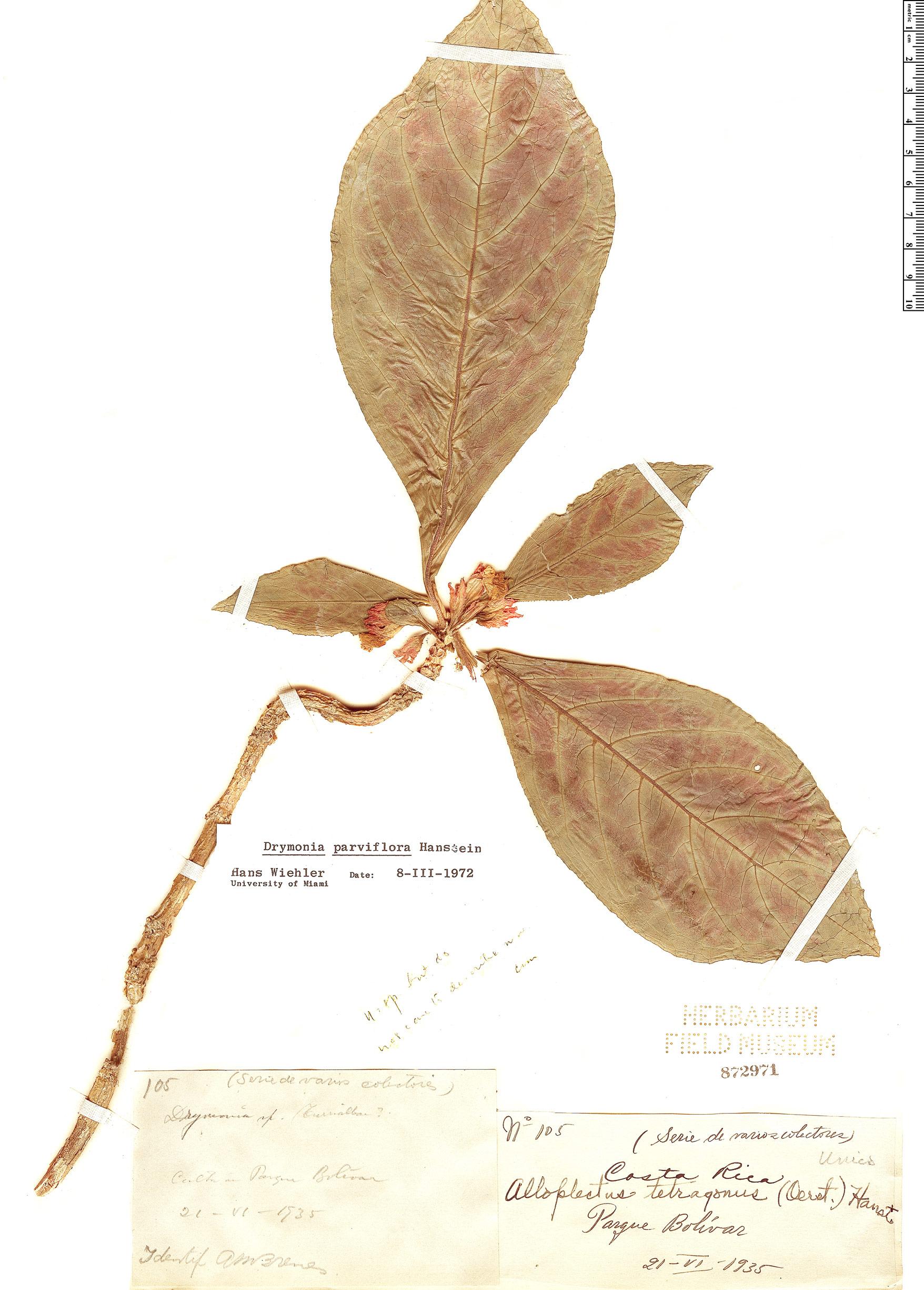 Specimen: Drymonia parviflora