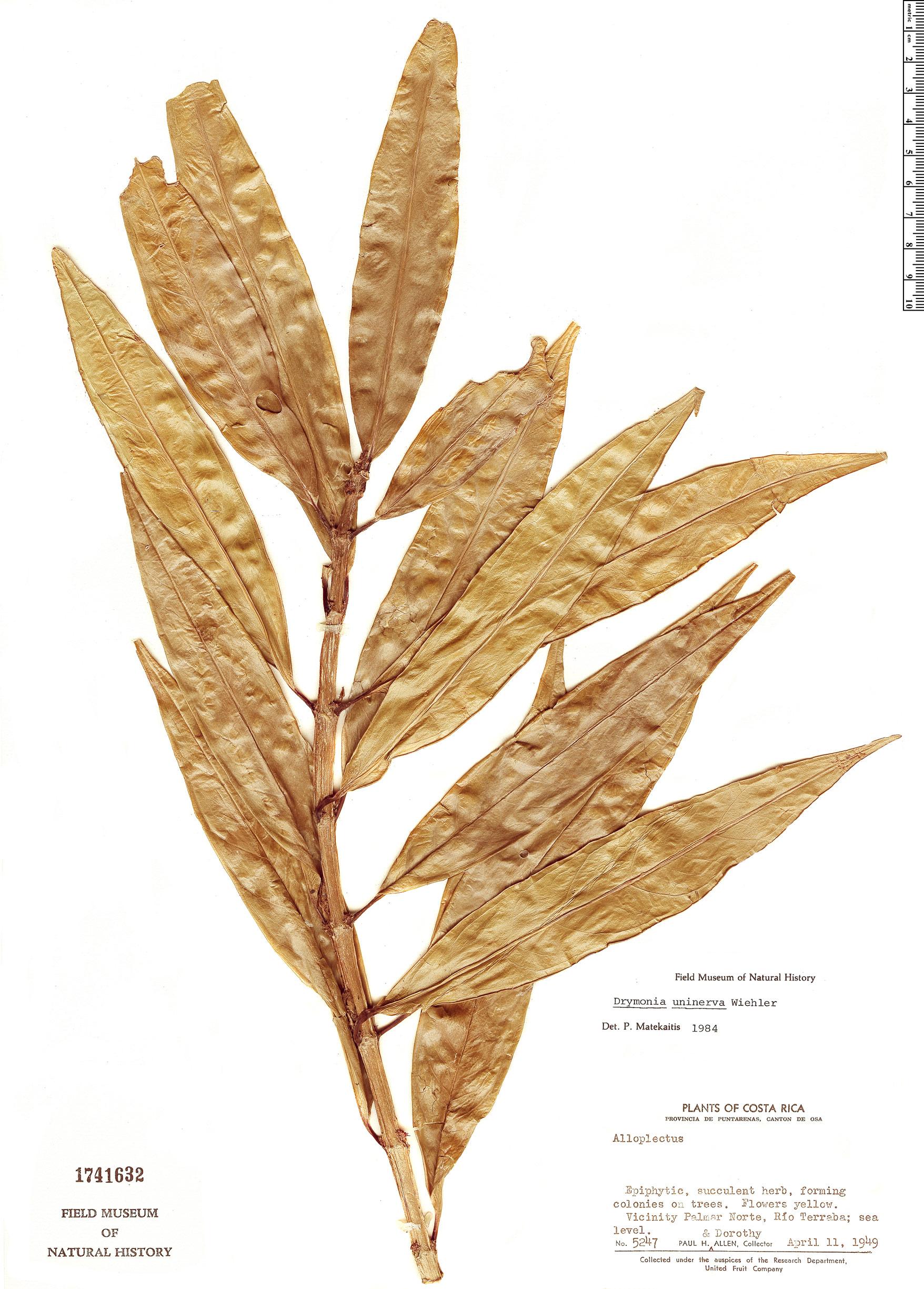 Espécime: Drymonia uninerva