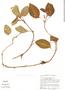 Episcia cupreata image