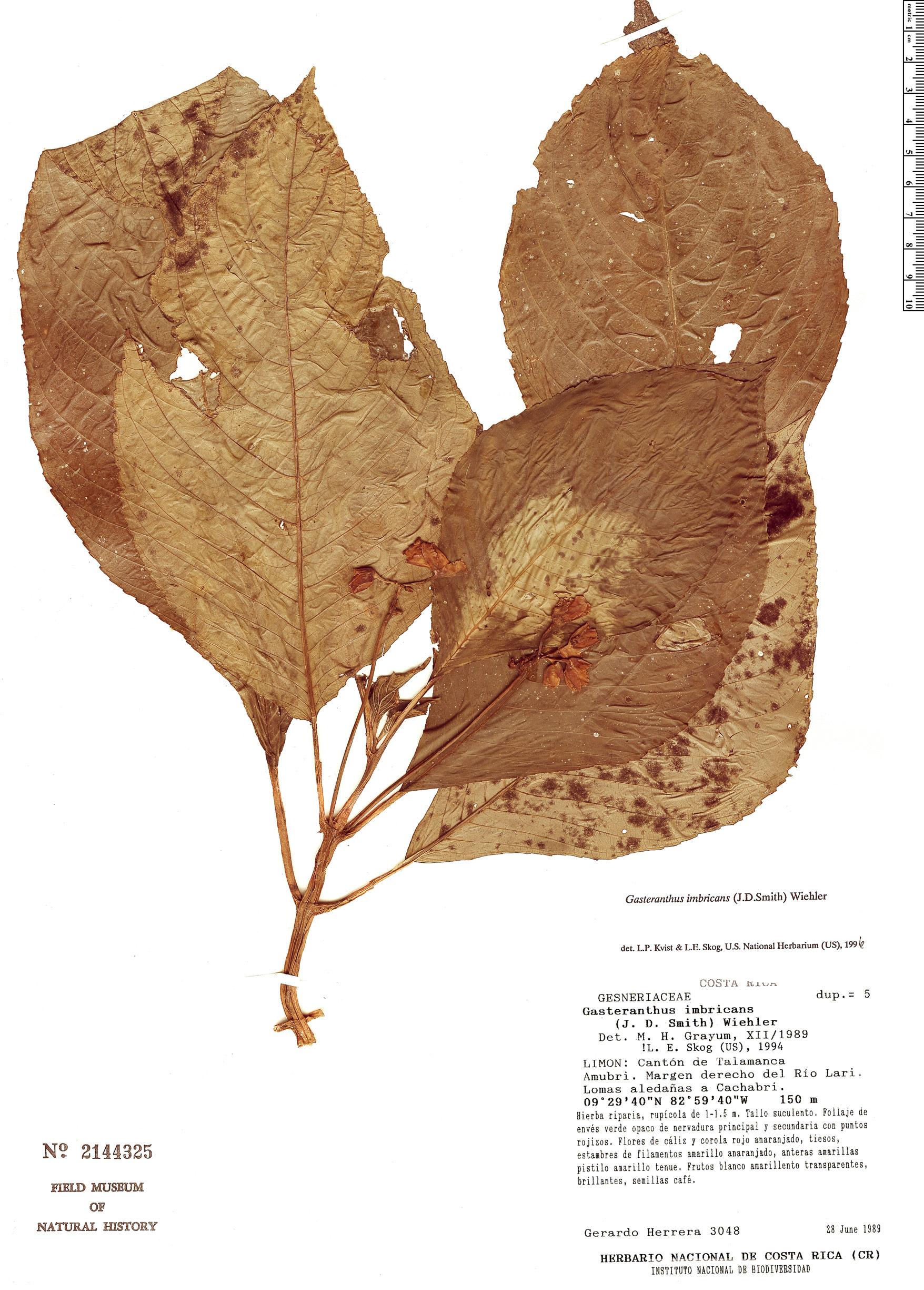 Specimen: Gasteranthus imbricans