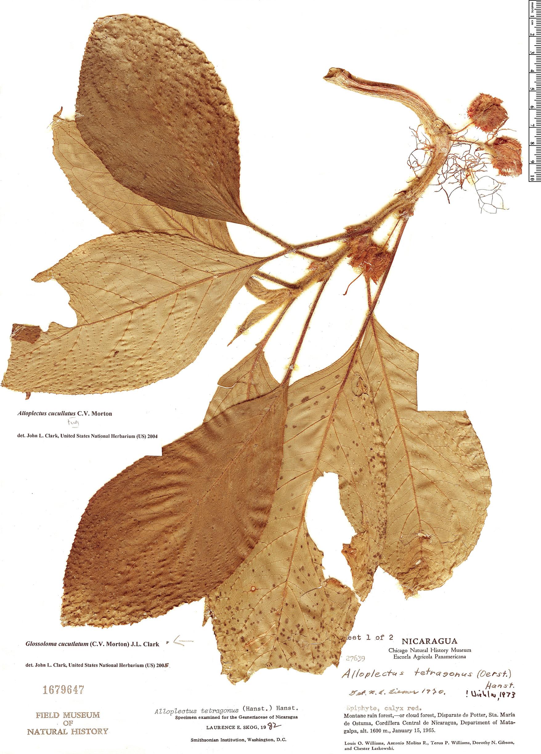 Specimen: Glossoloma cucullatum