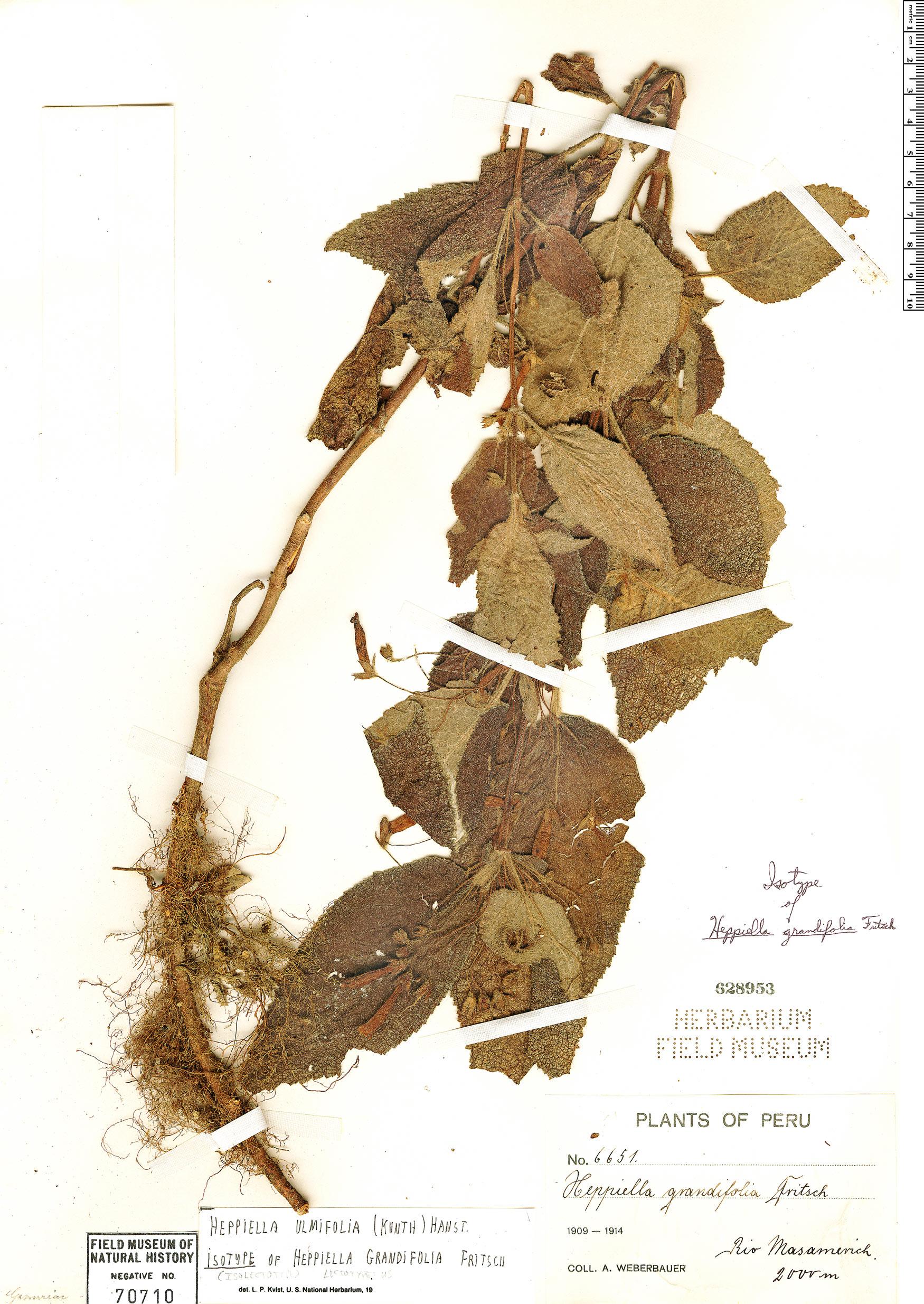 Specimen: Heppiella ulmifolia