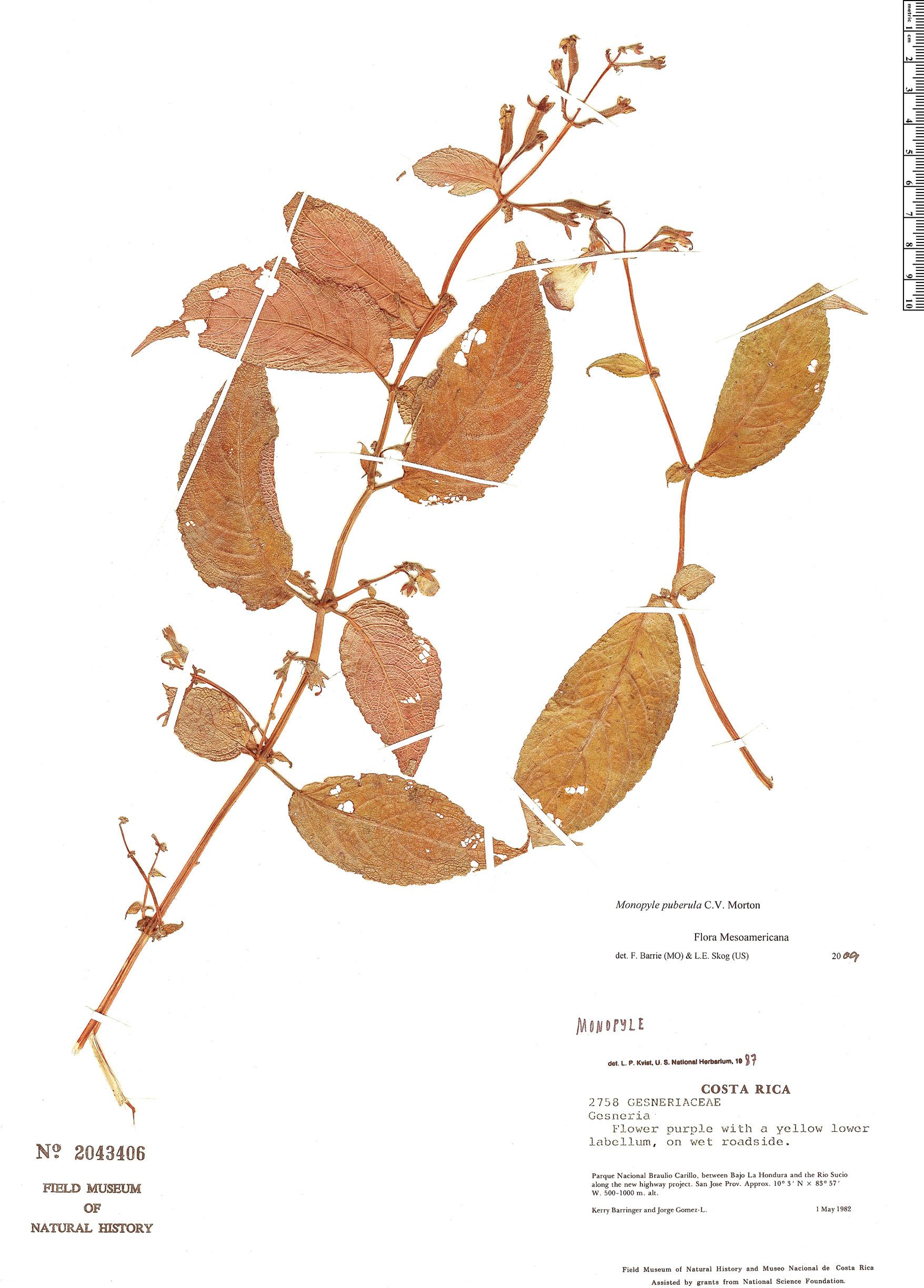 Specimen: Monopyle puberula