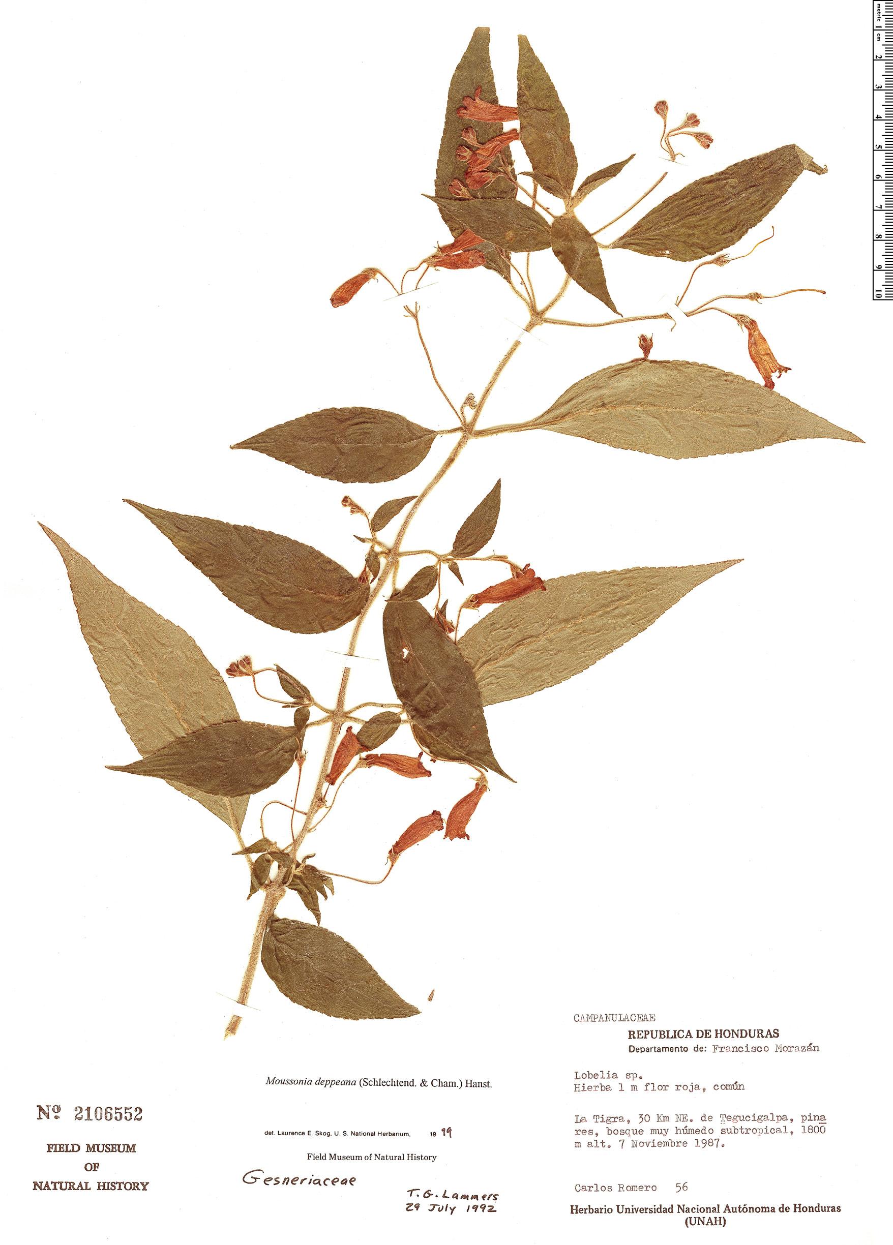 Specimen: Moussonia deppeana