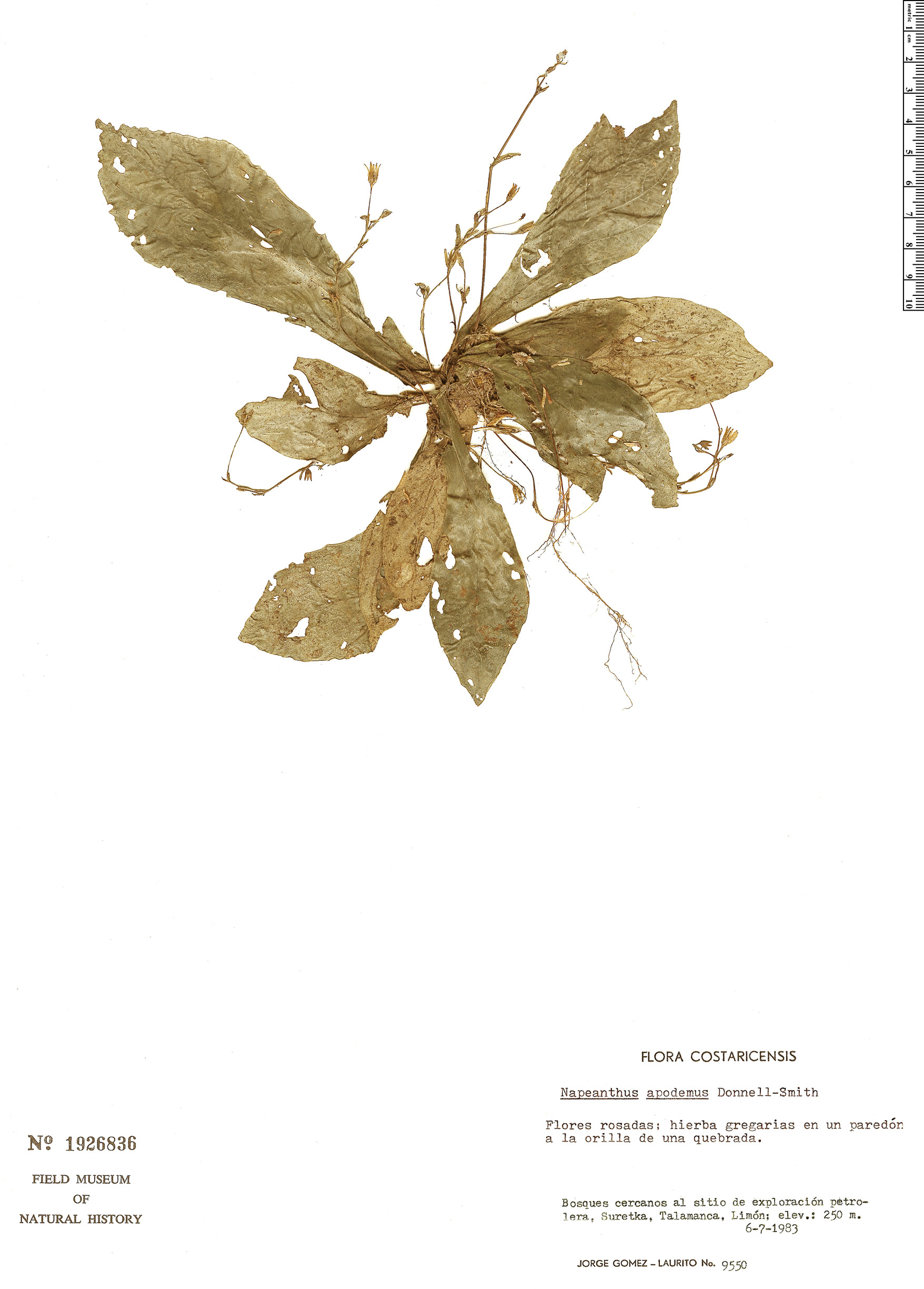 Espécimen: Napeanthus apodemus