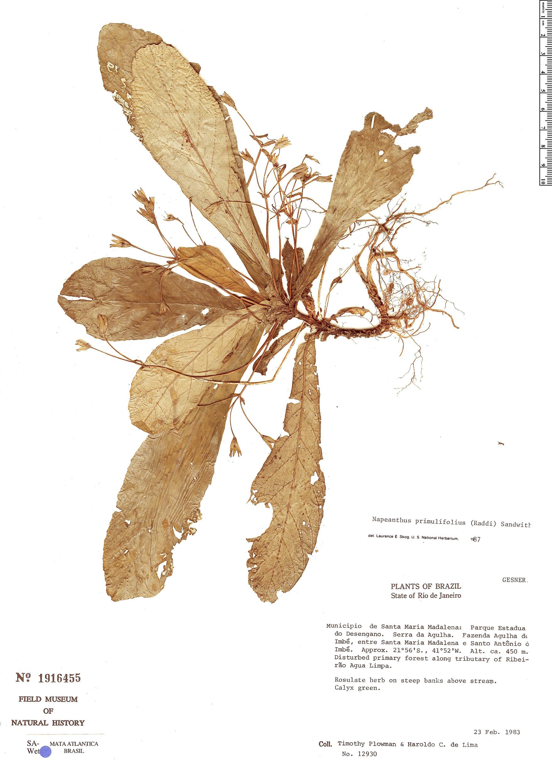 Specimen: Napeanthus primulifolius