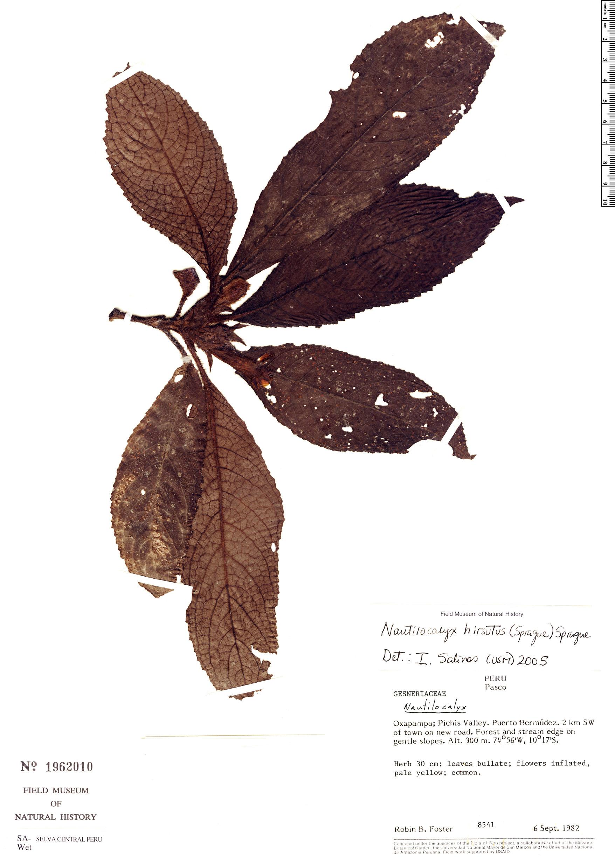 Specimen: Nautilocalyx hirsutus