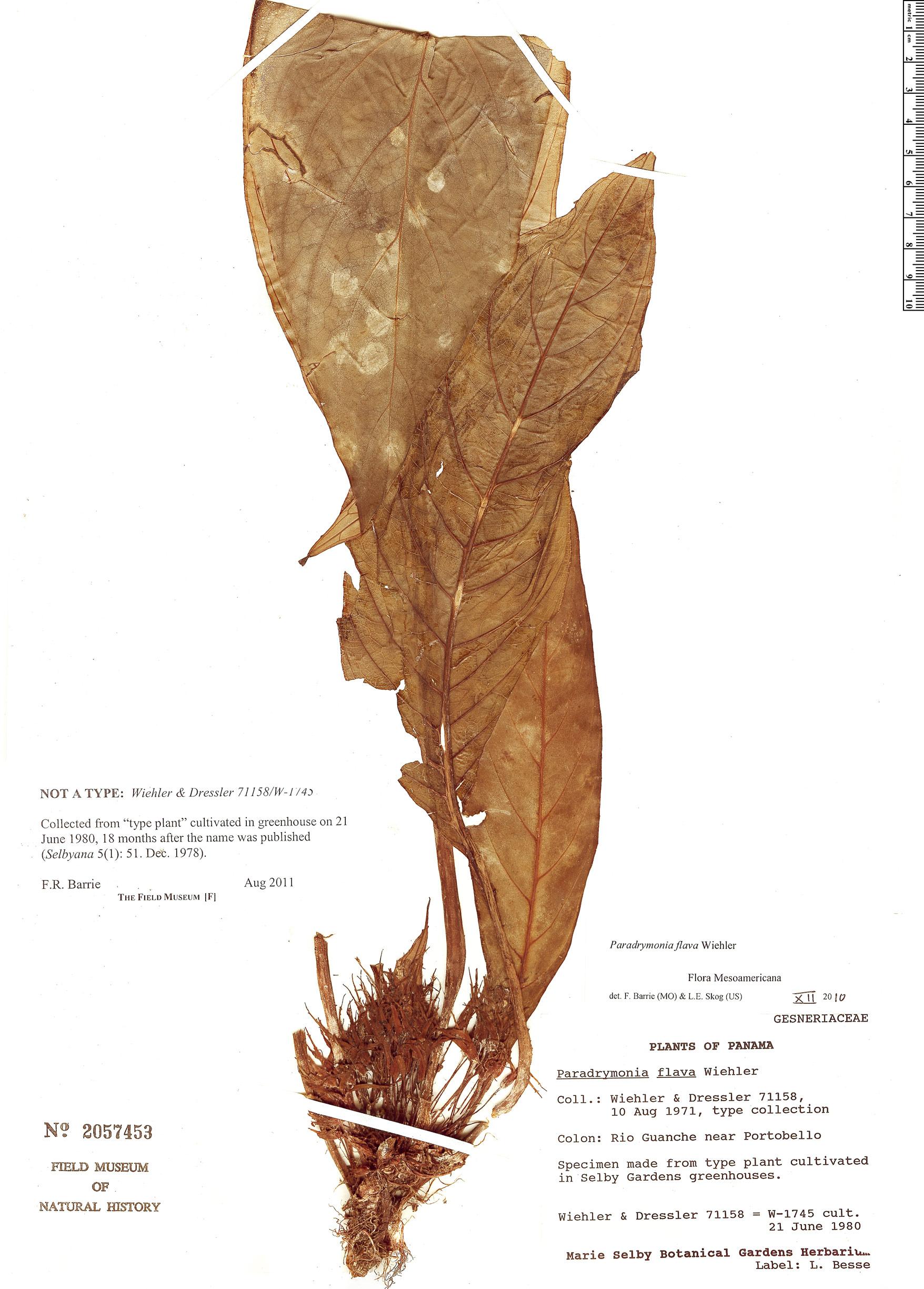 Specimen: Paradrymonia flava