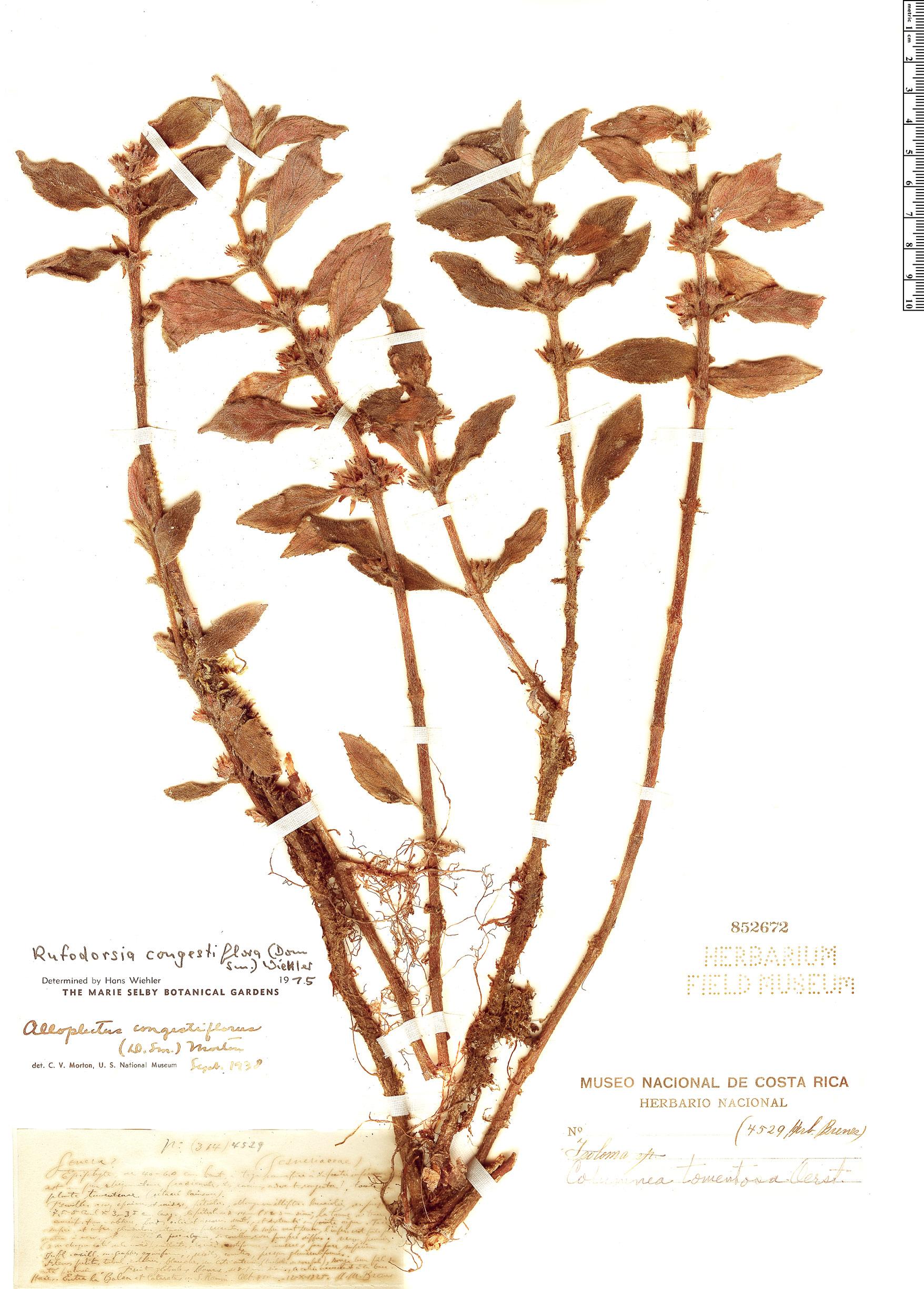 Specimen: Rufodorsia congestiflora