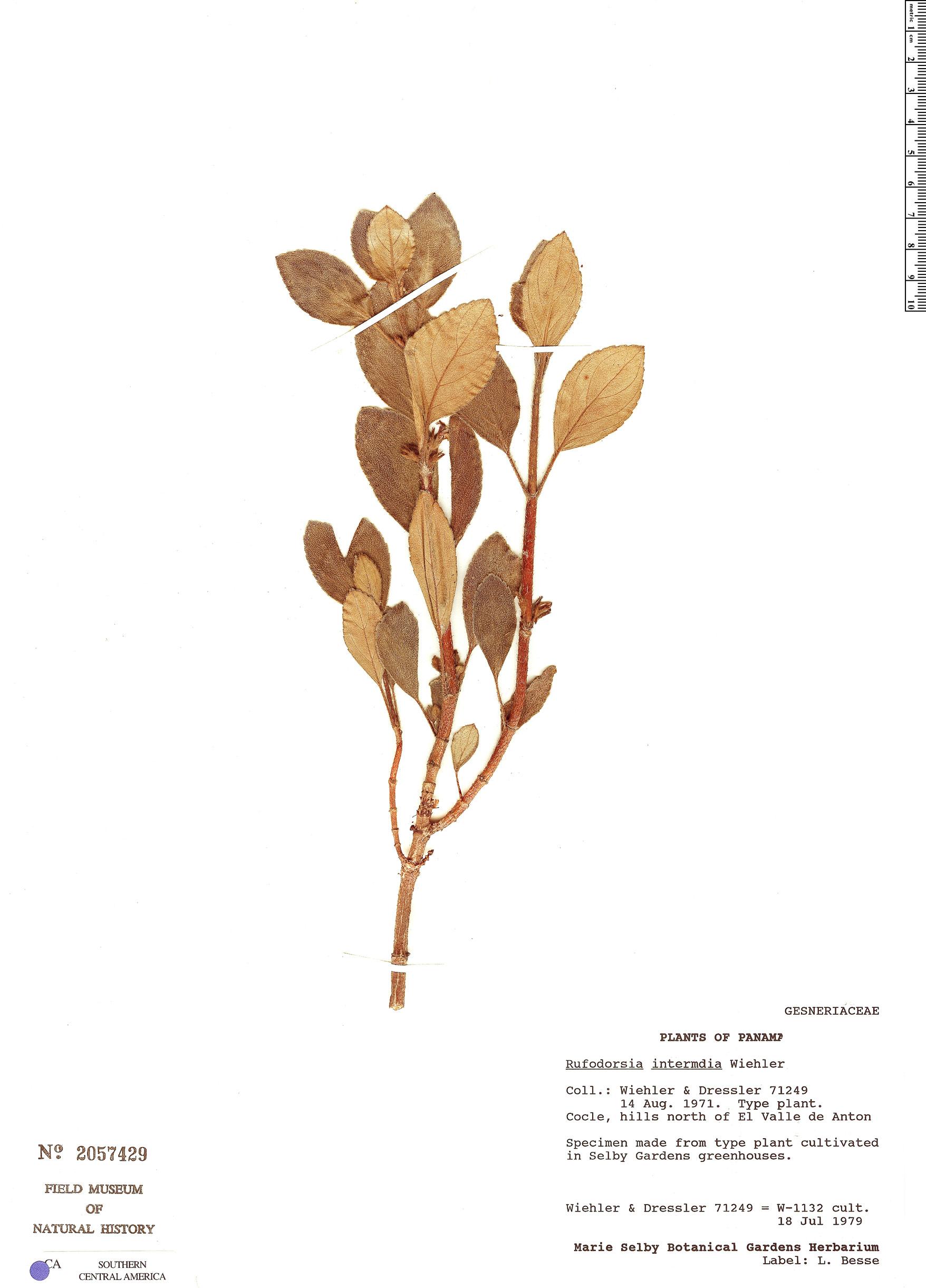 Specimen: Rufodorsia intermedia