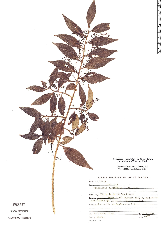 Specimen: Griselinia ruscifolia