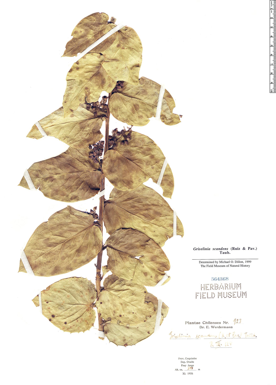 Espécimen: Griselinia scandens