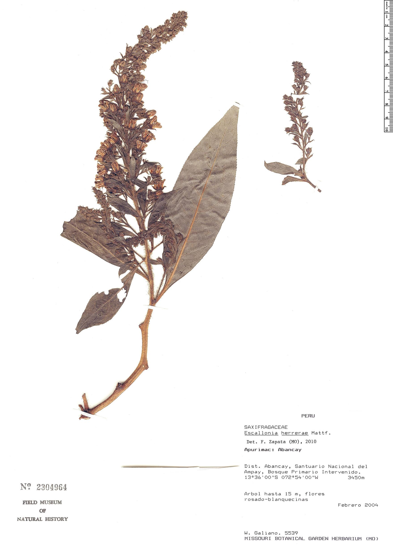 Specimen: Escallonia herrerae