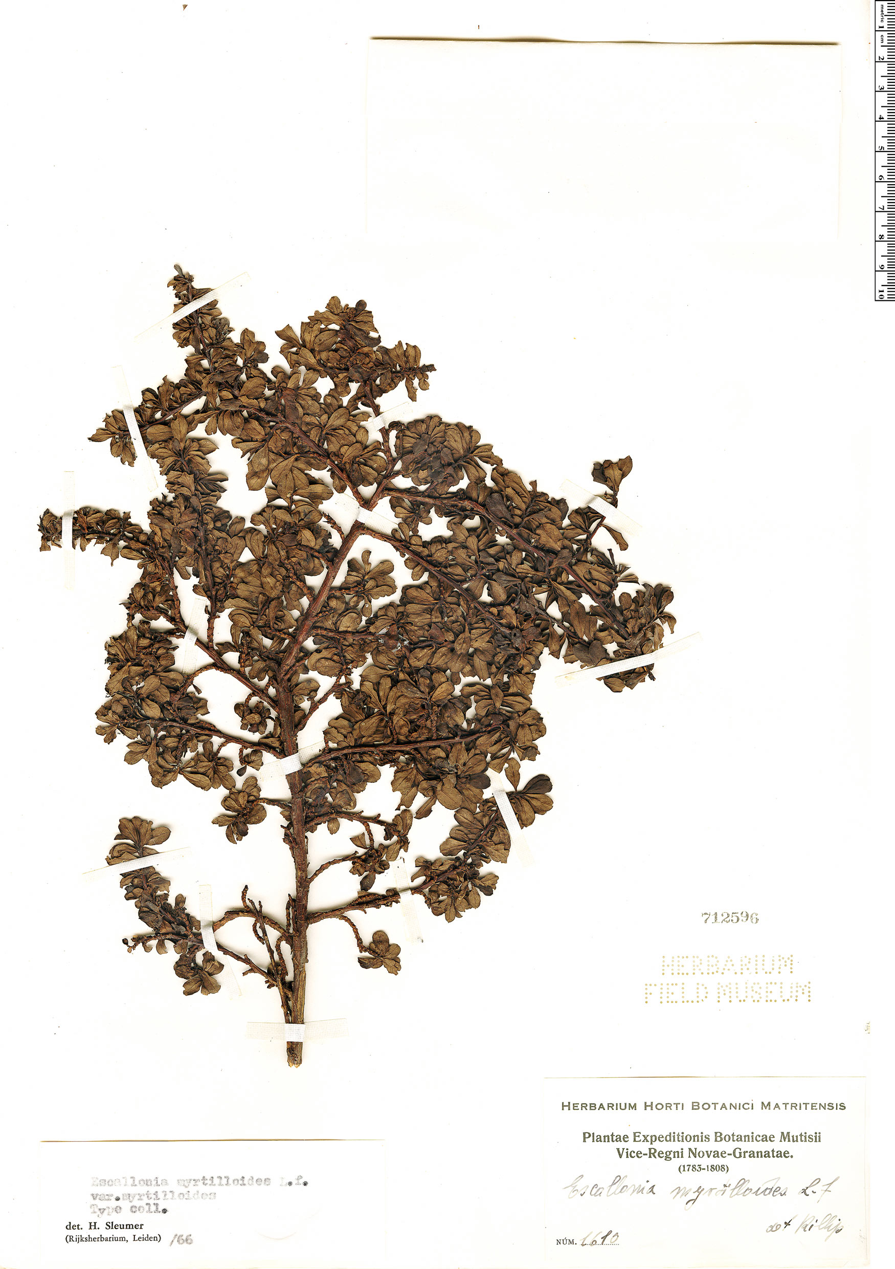 Specimen: Escallonia myrtilloides