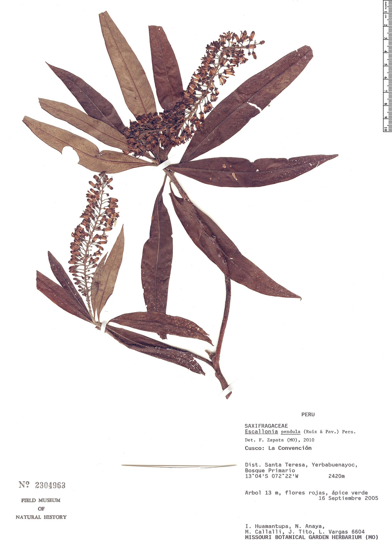 Espécimen: Escallonia pendula