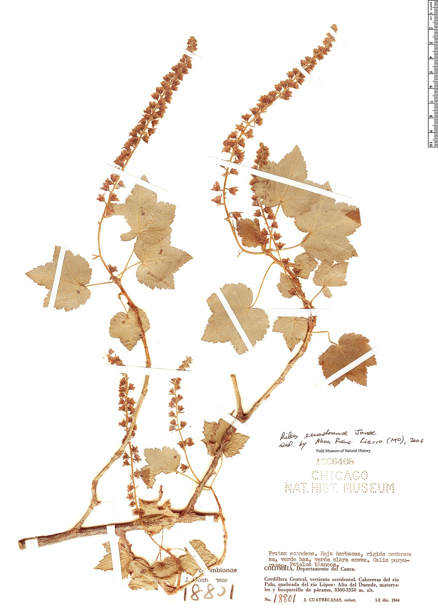 Specimen: Ribes ecuadorense