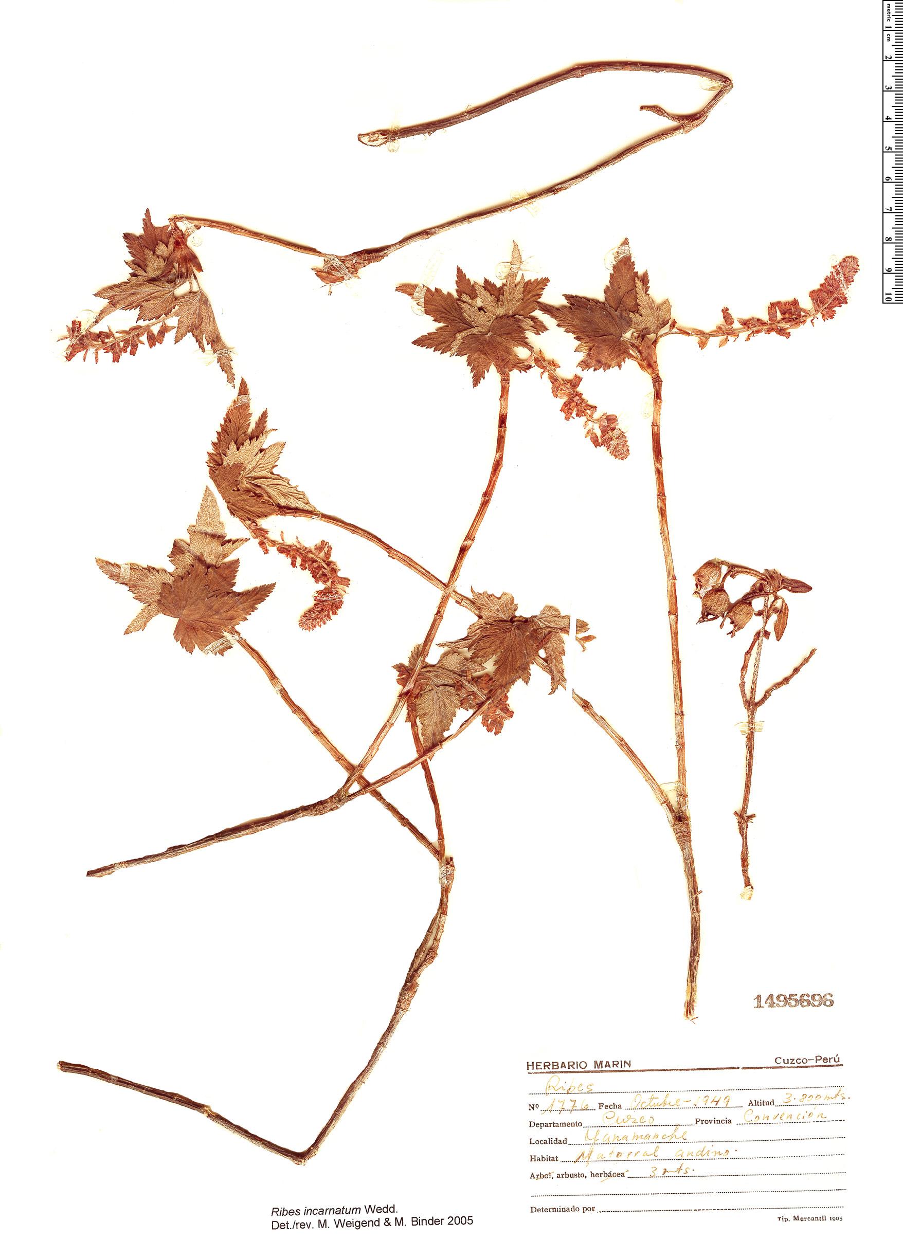 Specimen: Ribes incarnatum