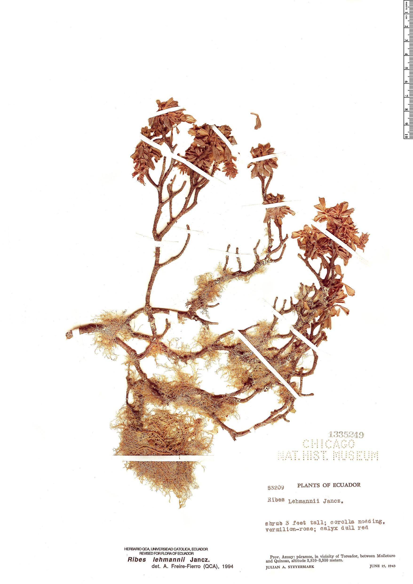 Specimen: Ribes lehmannii