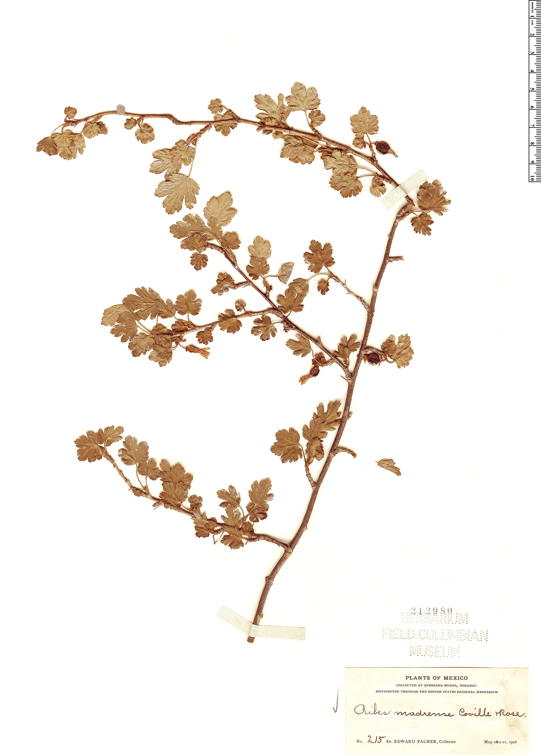 Specimen: Ribes madrense