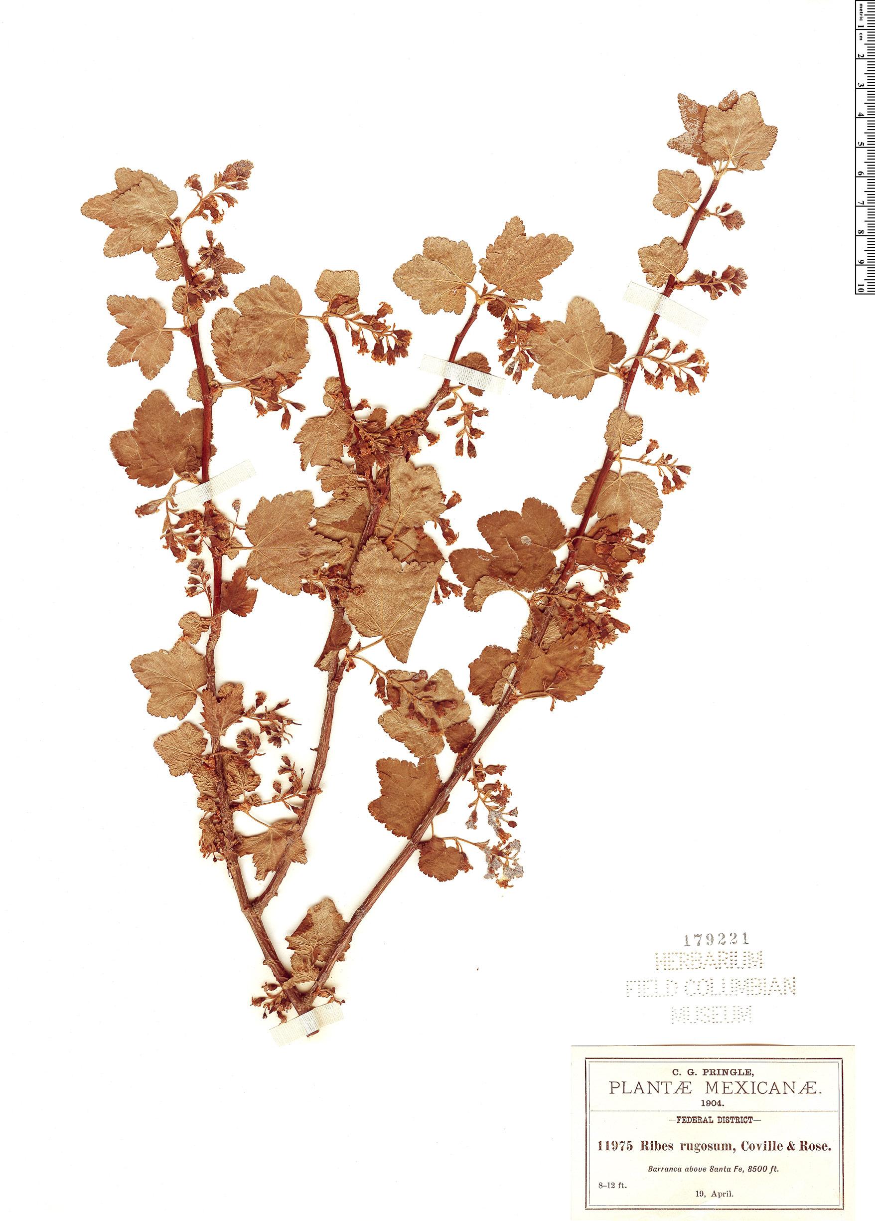 Specimen: Ribes rugosum