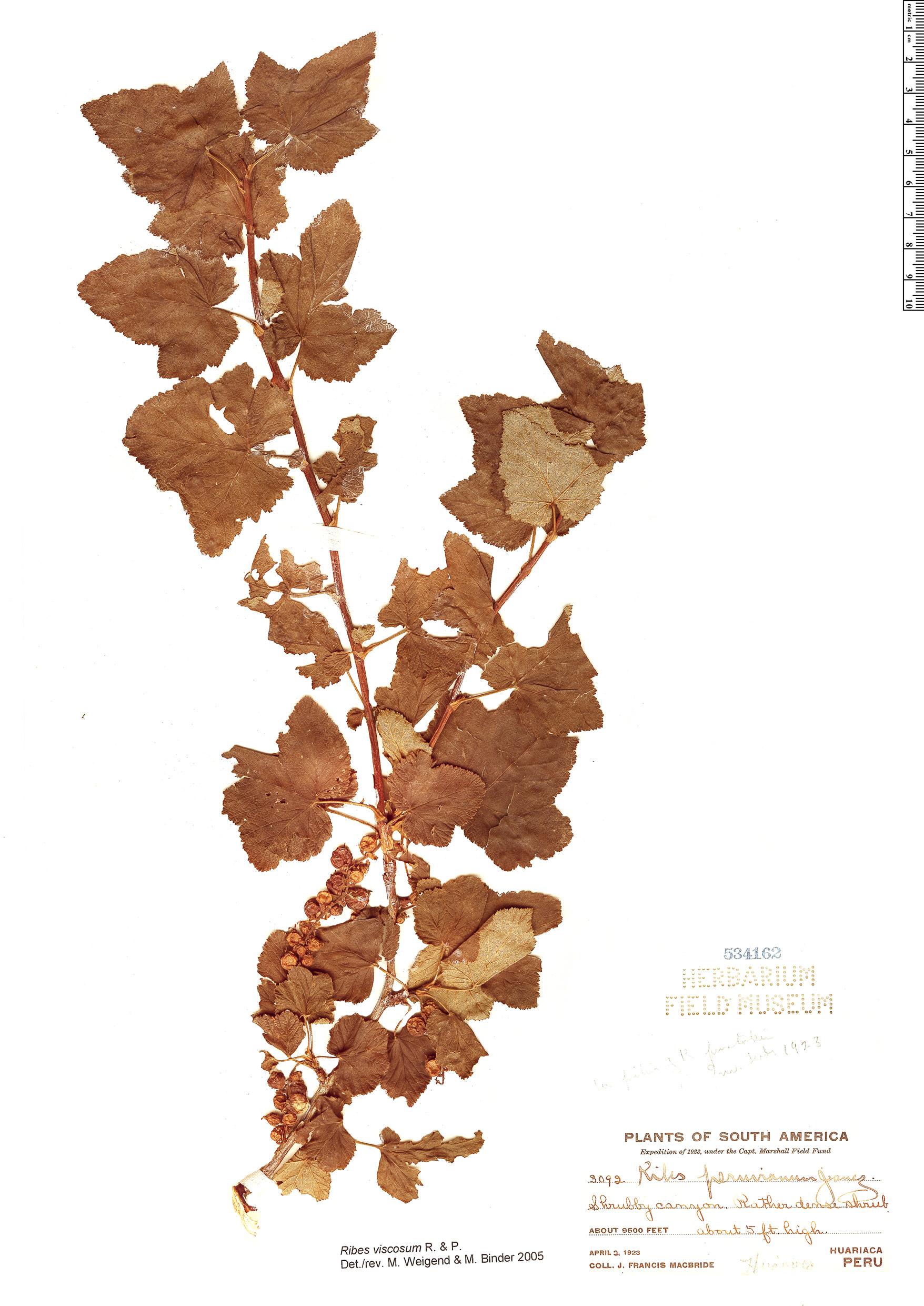 Specimen: Ribes viscosum
