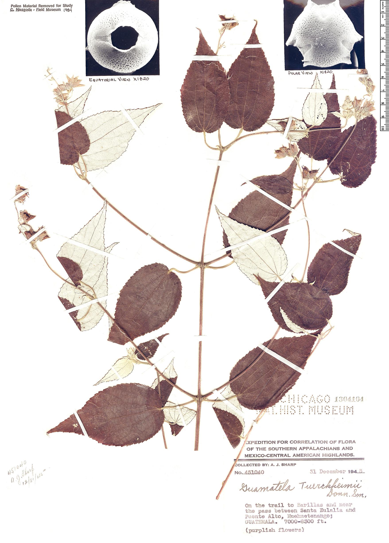 Specimen: Guamatela tuerckheimii