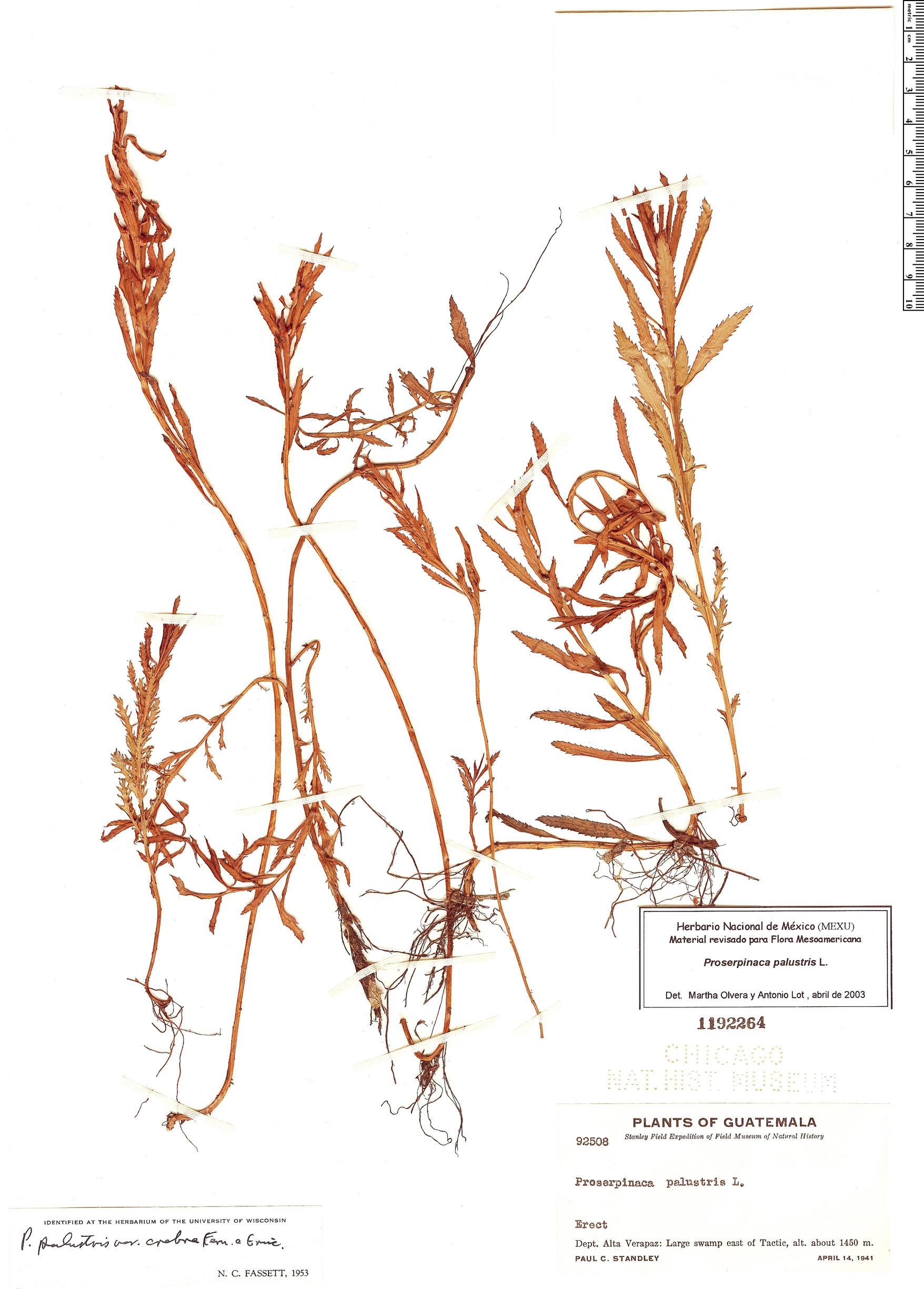 Specimen: Proserpinaca palustris