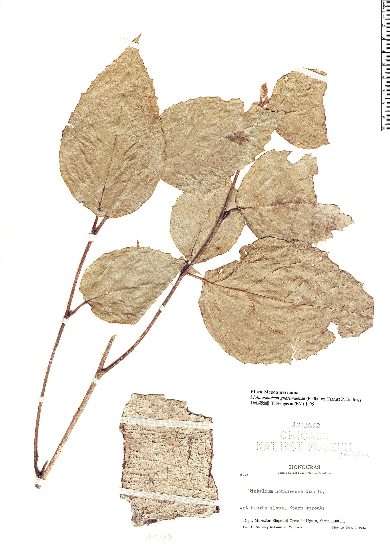 Specimen: Molinadendron guatemalense