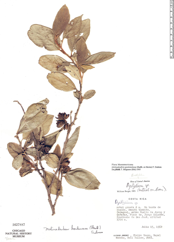 Espécimen: Molinadendron guatemalense