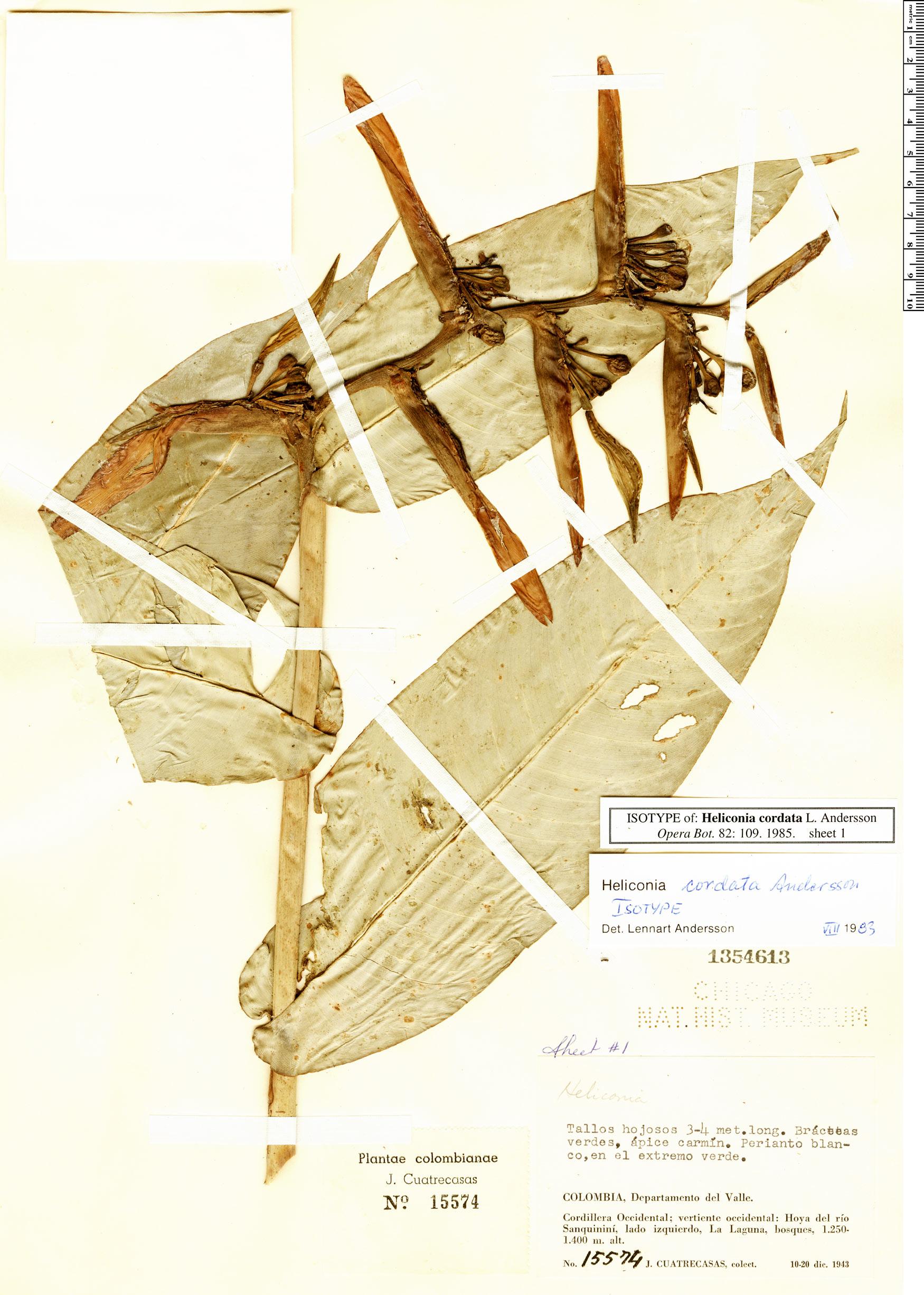 Specimen: Heliconia cordata