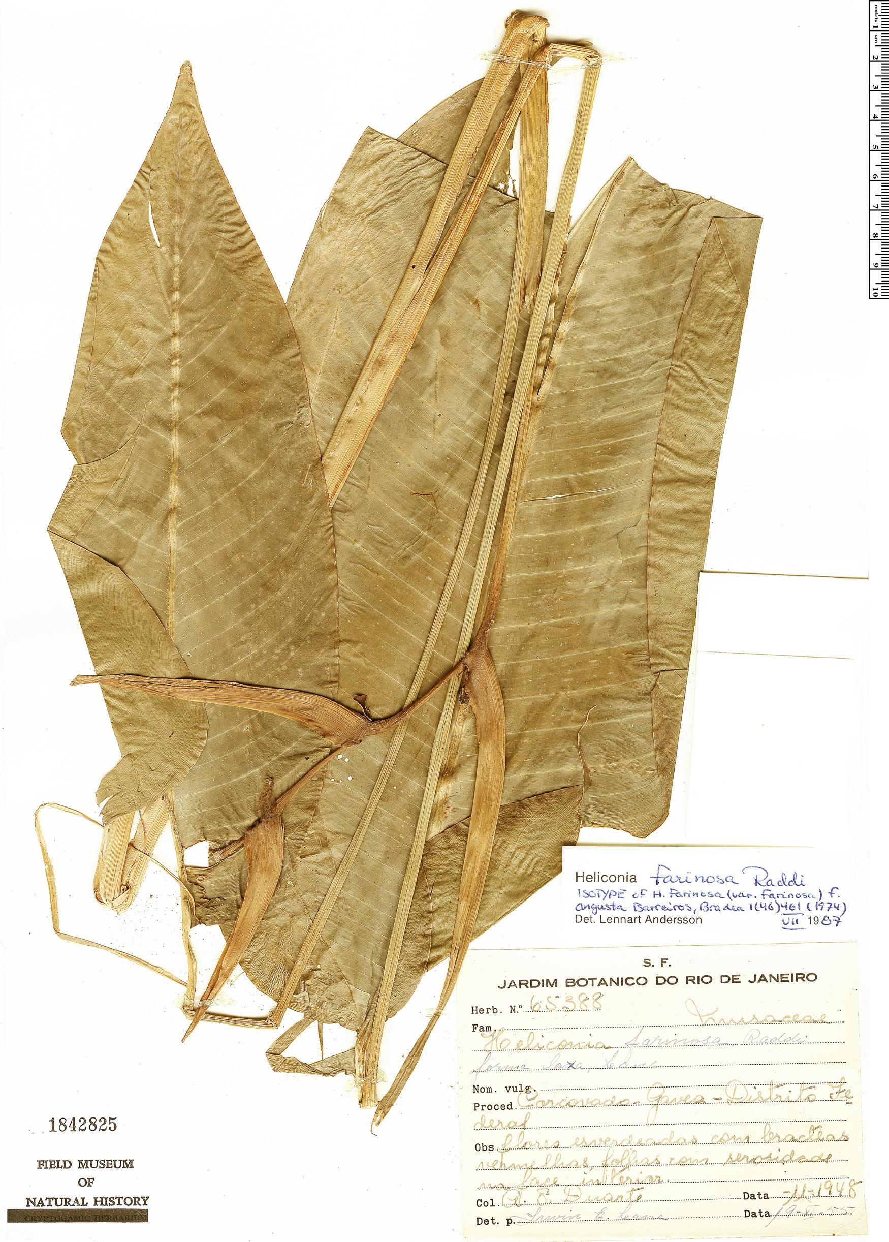 Specimen: Heliconia farinosa