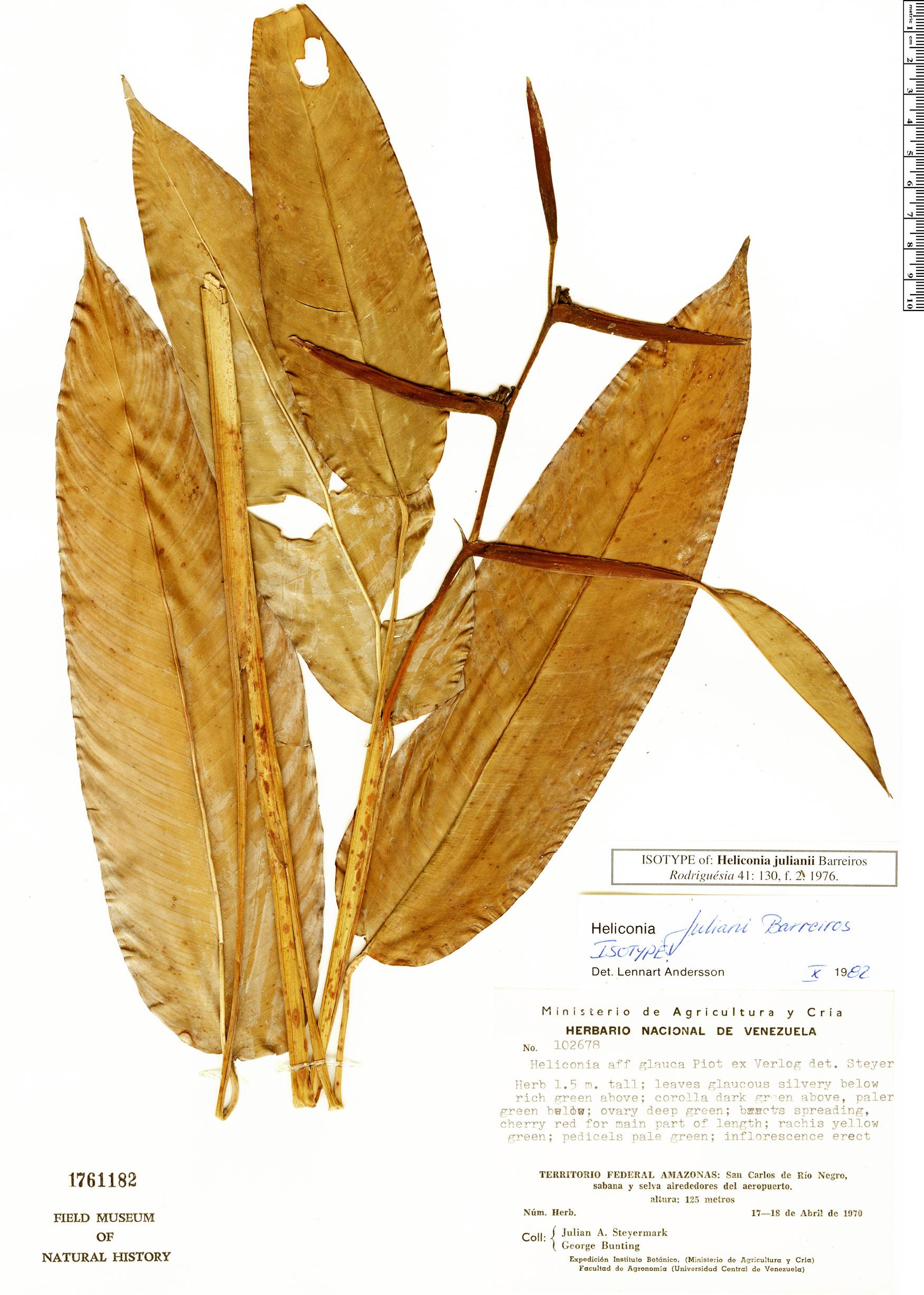 Specimen: Heliconia juliani