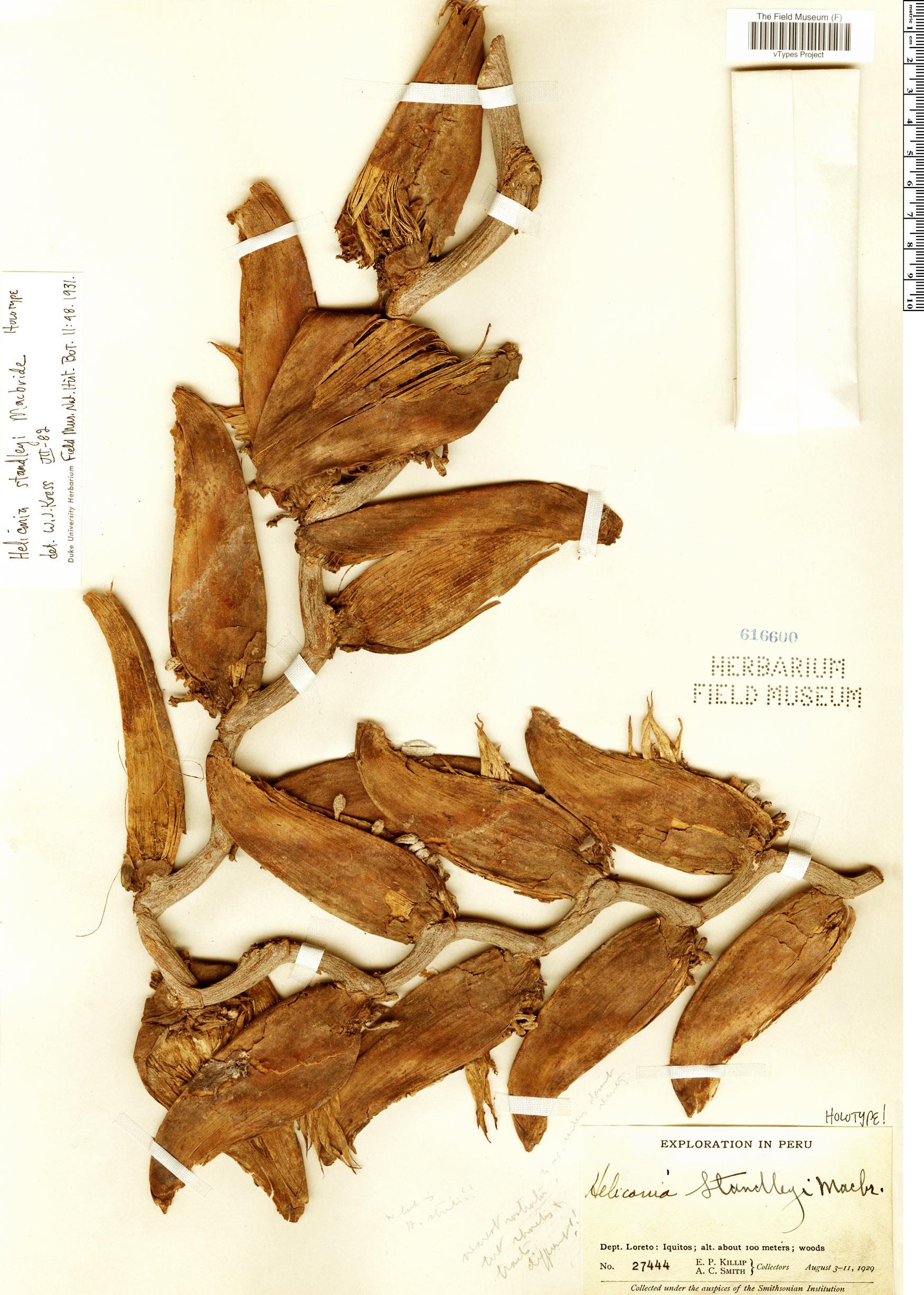 Specimen: Heliconia standleyi