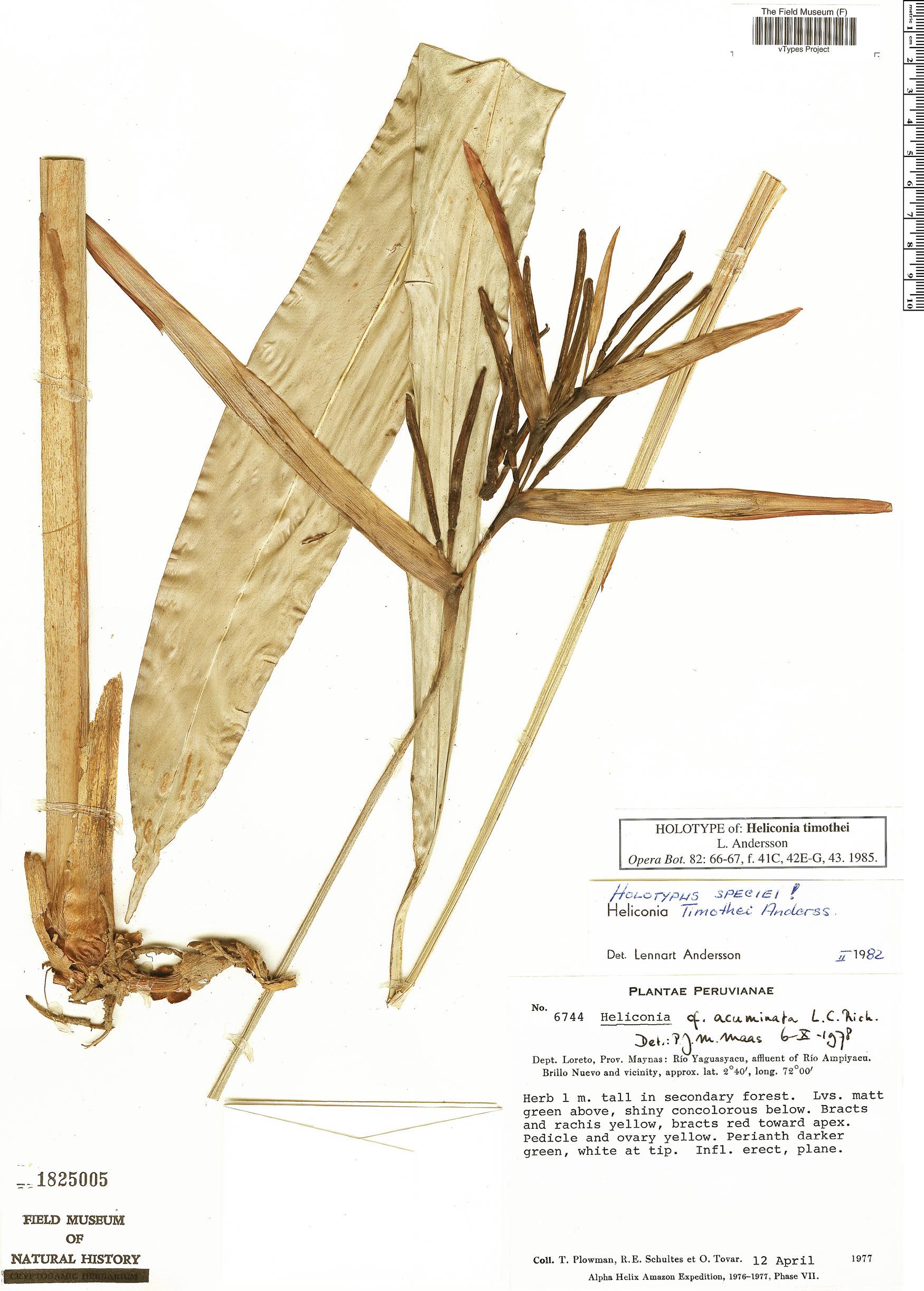 Specimen: Heliconia timothei