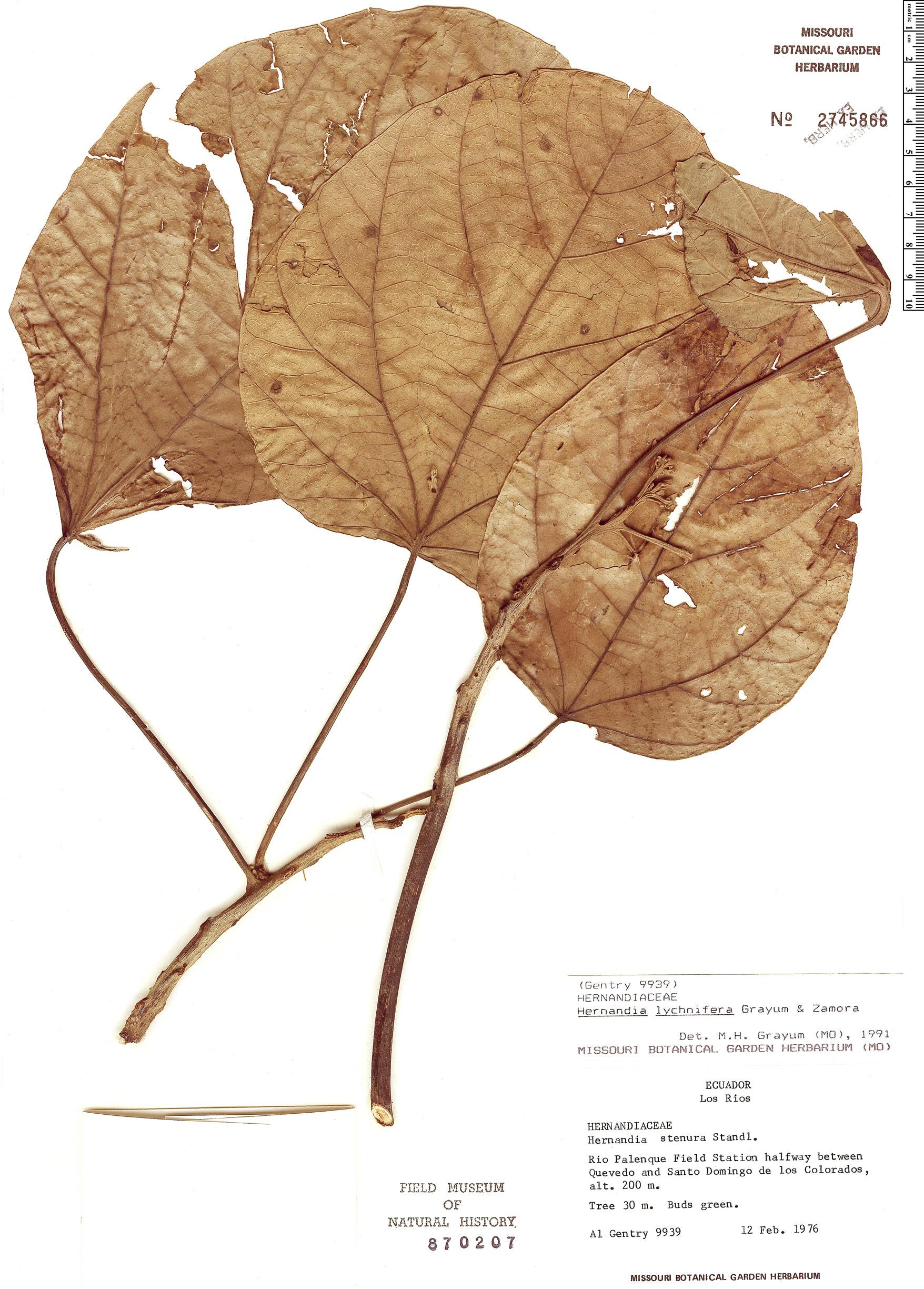 Specimen: Hernandia lychnifera