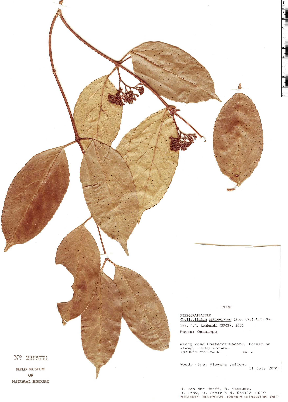 Specimen: Cheiloclinium articulatum