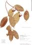 Cheiloclinium articulatum image