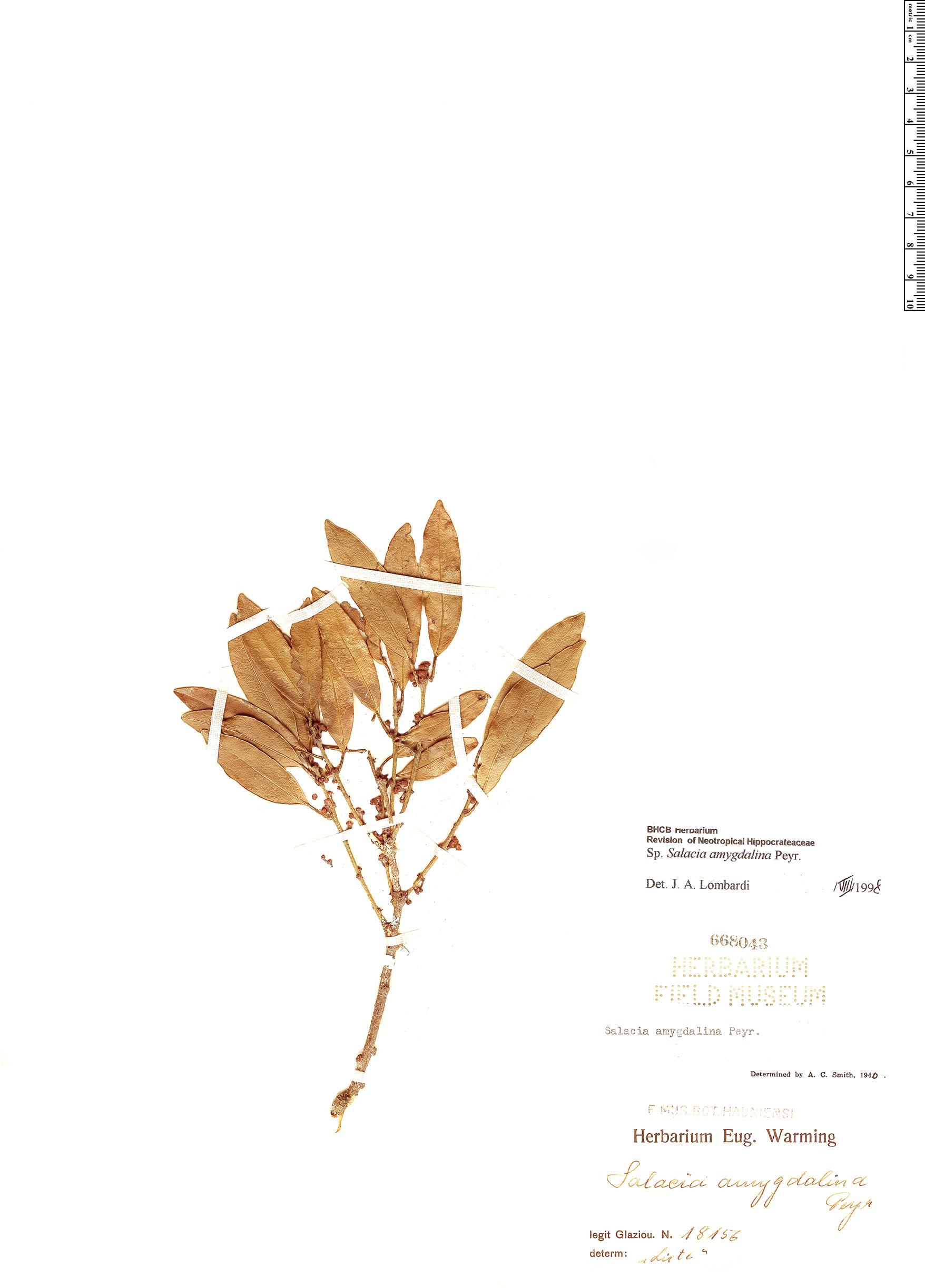 Specimen: Salacia elliptica