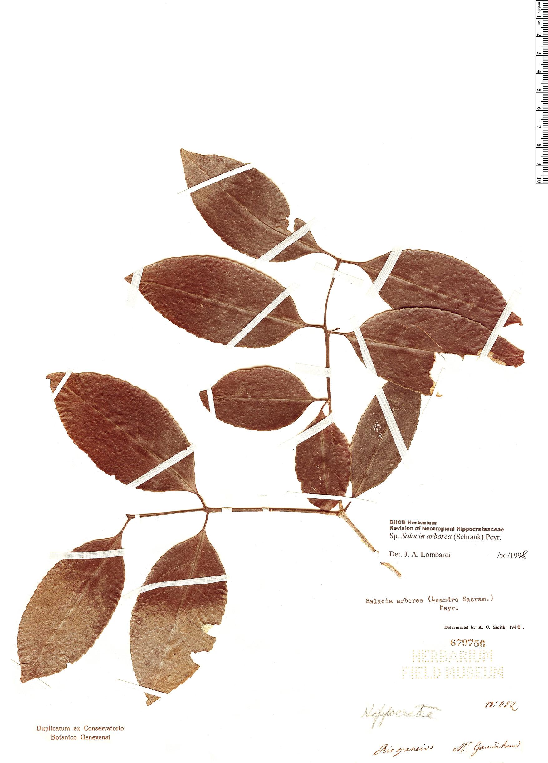 Specimen: Salacia arborea