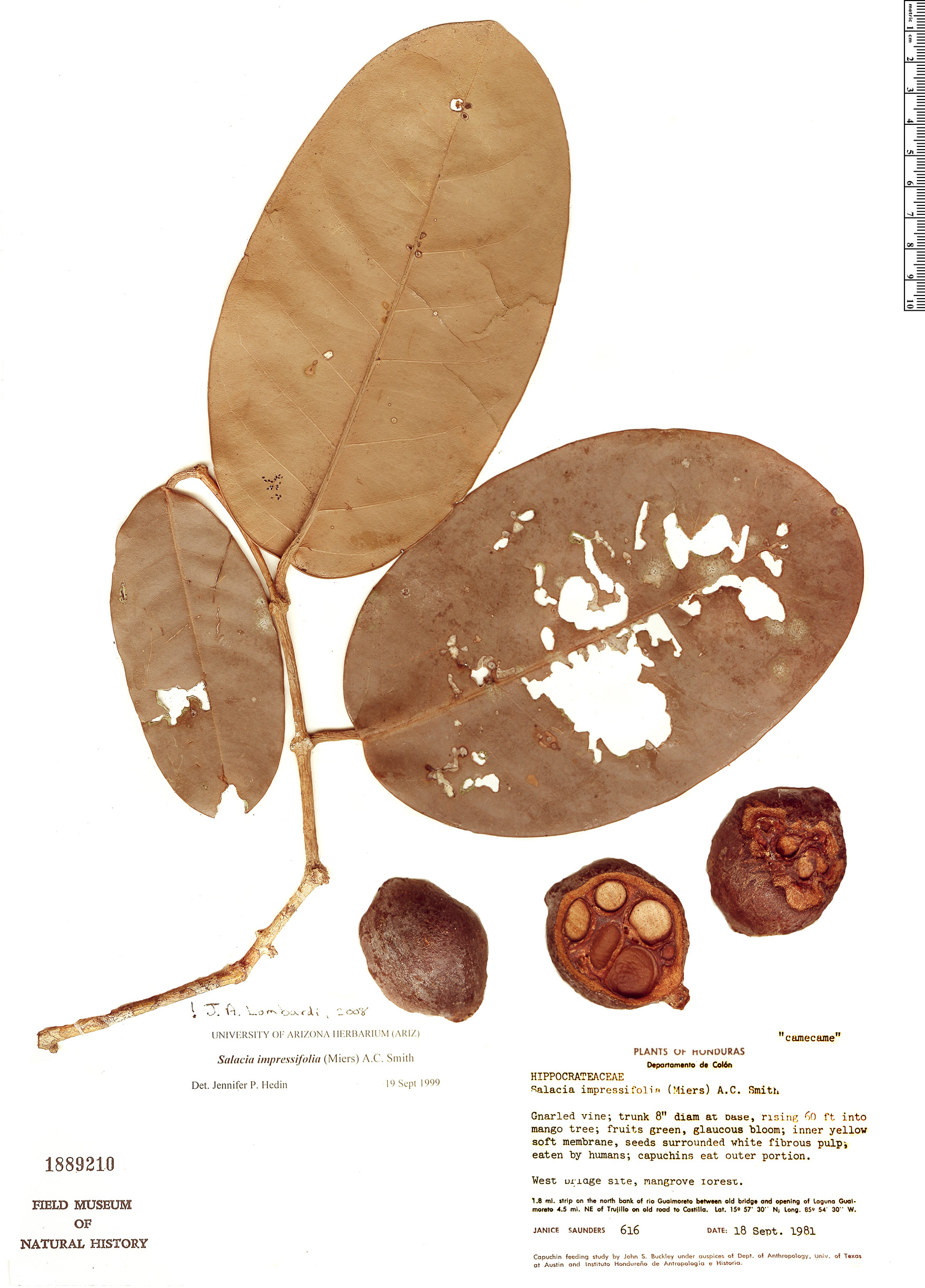 Specimen: Salacia impressifolia