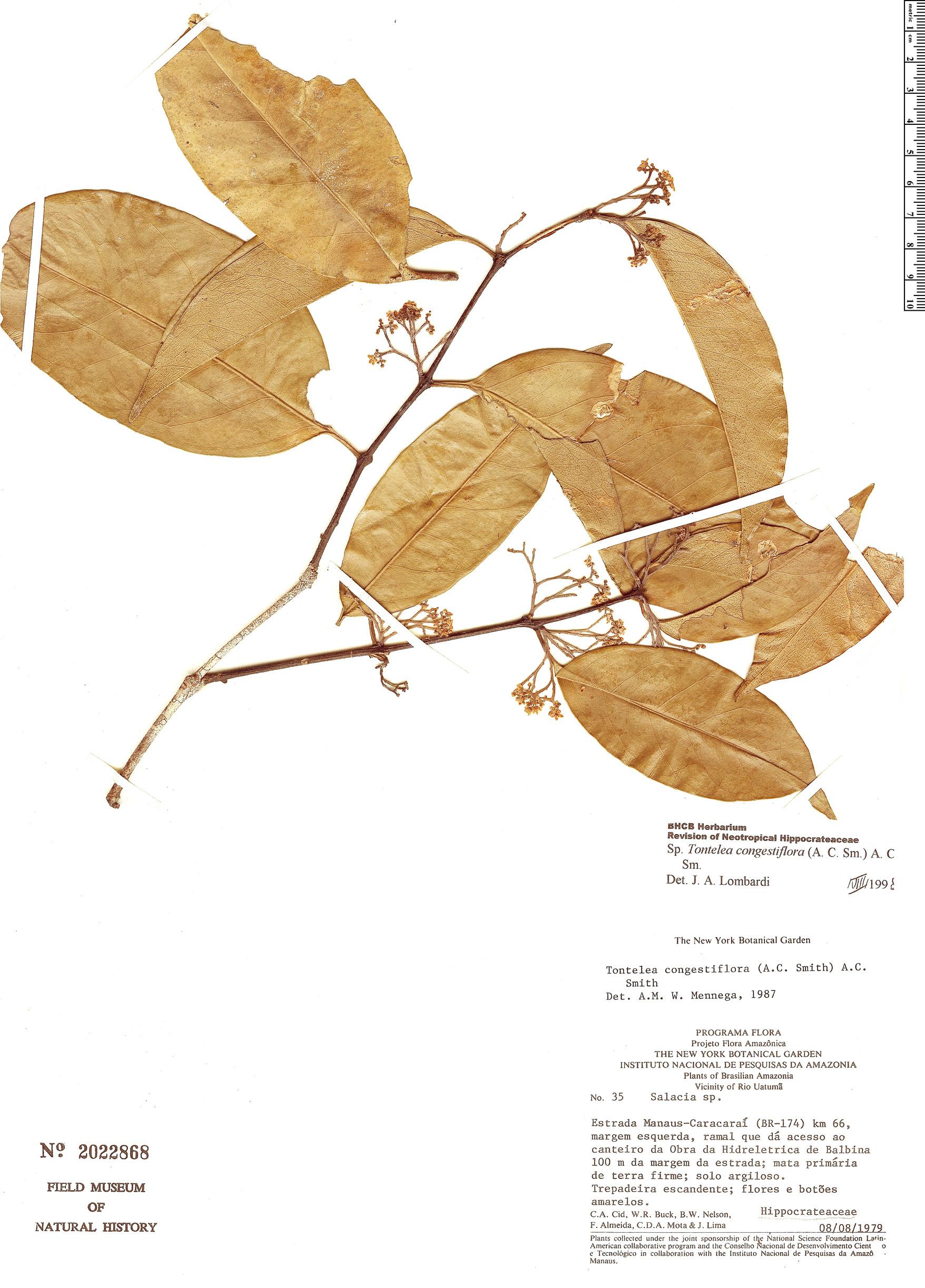 Espécimen: Tontelea congestiflora