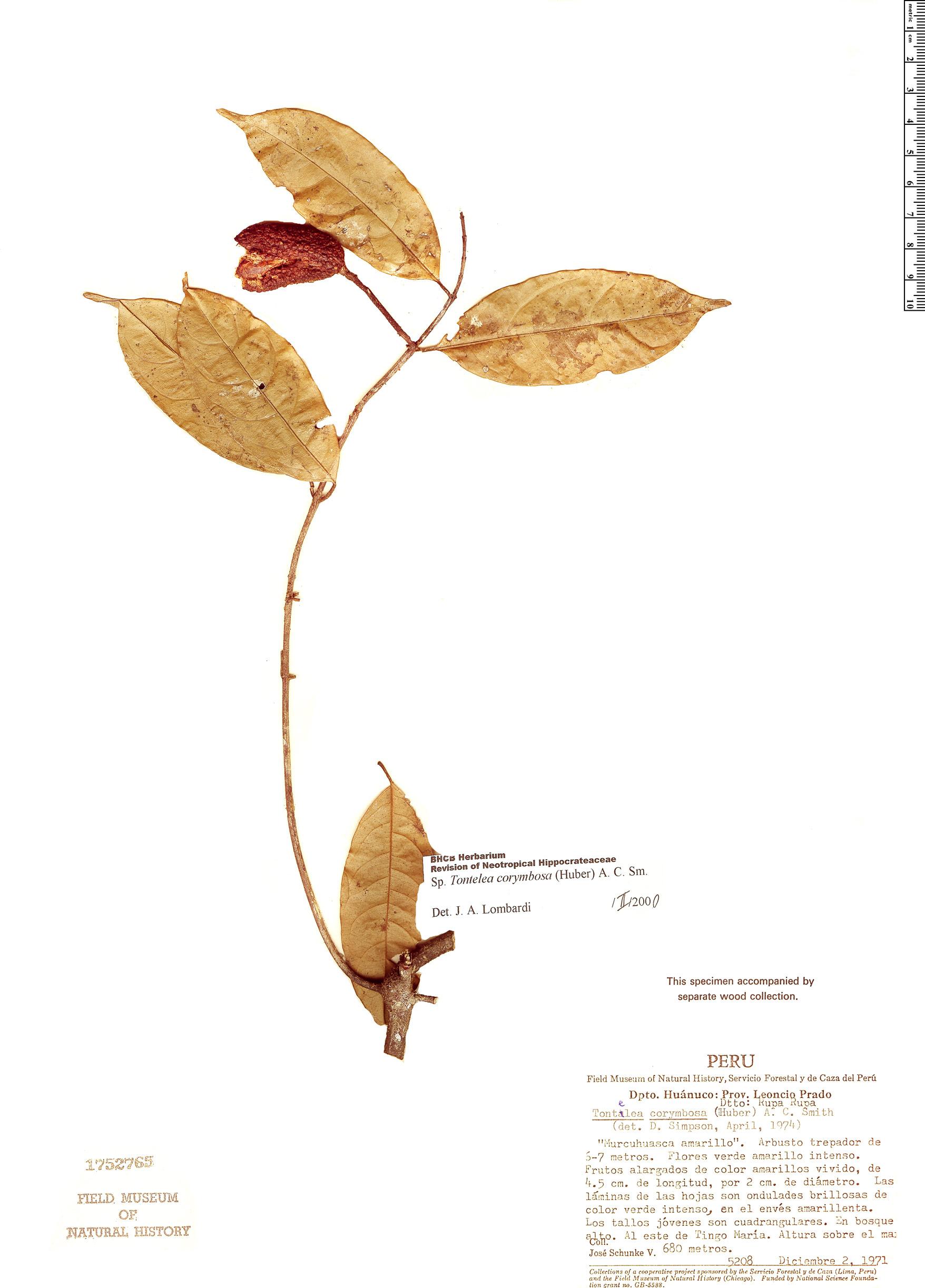 Specimen: Tontelea corymbosa