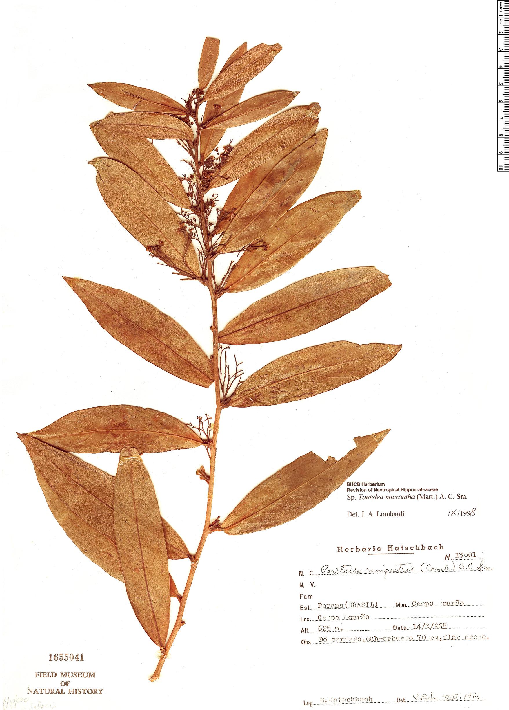 Specimen: Tontelea micrantha