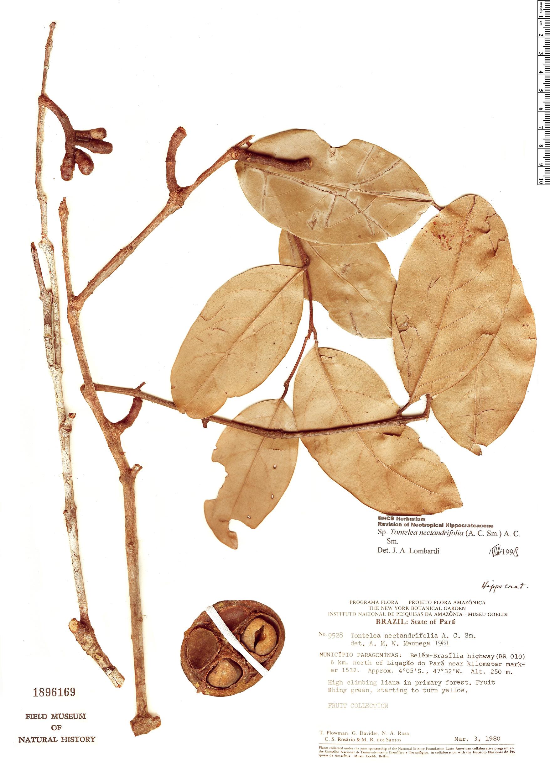 Specimen: Peritassa nectandrifolia