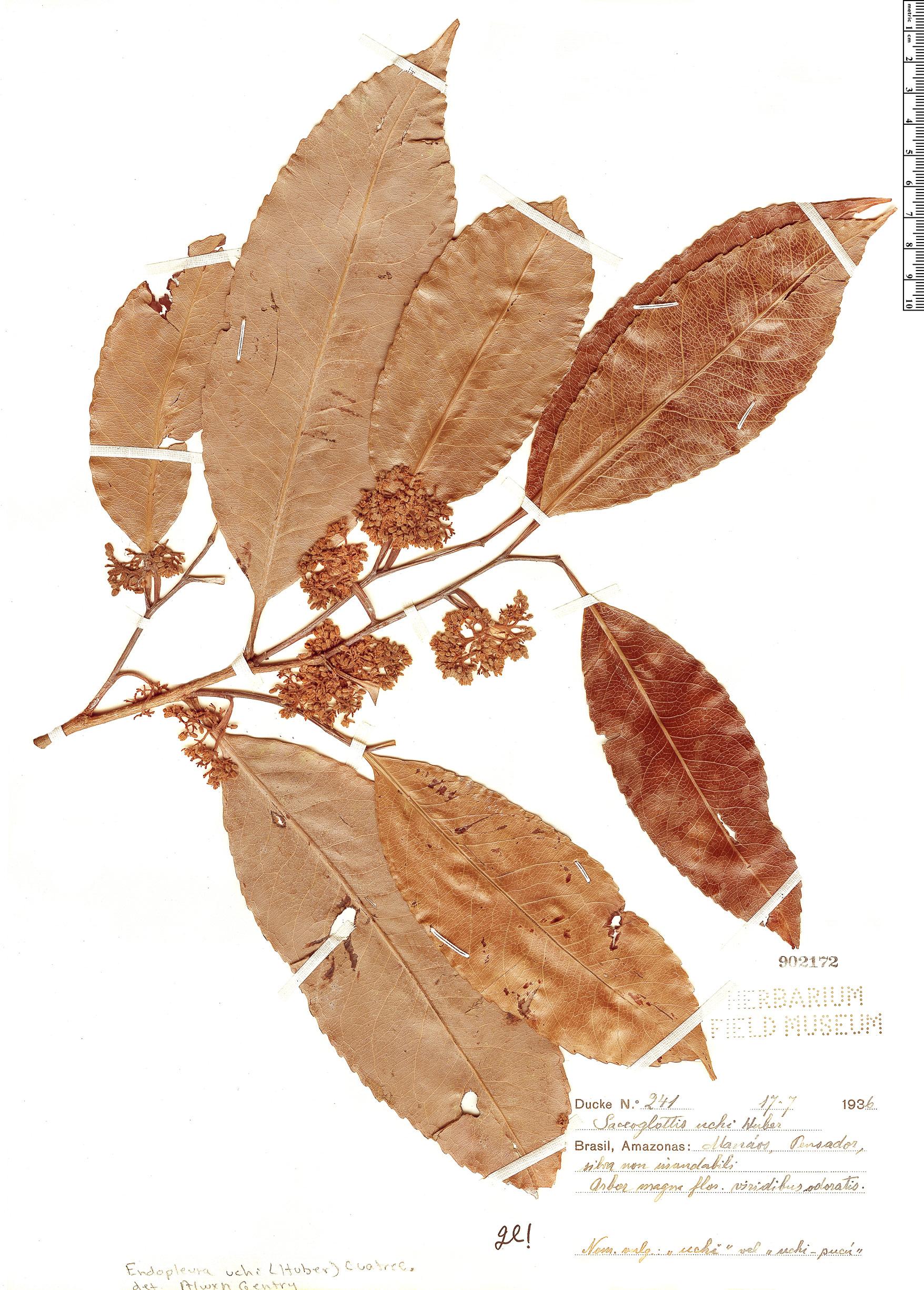 Specimen: Endopleura uchi